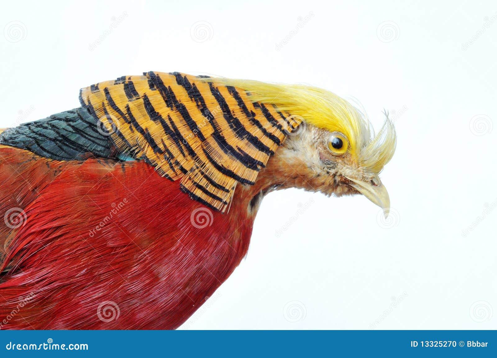 Chrysolophus złotego bażanta pictus