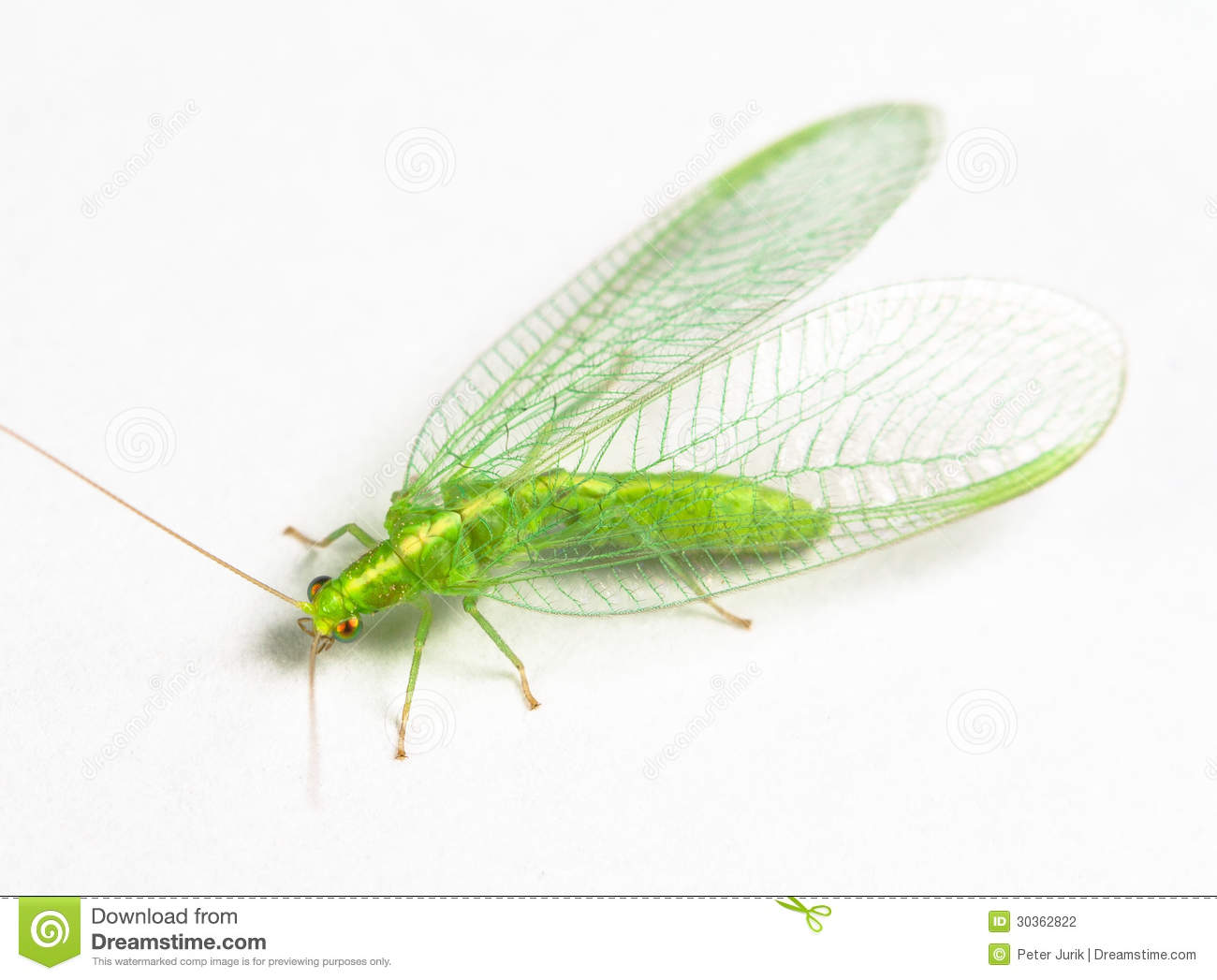 Chrysopidae Green Lacewing Stock Photography - Image: 30362822