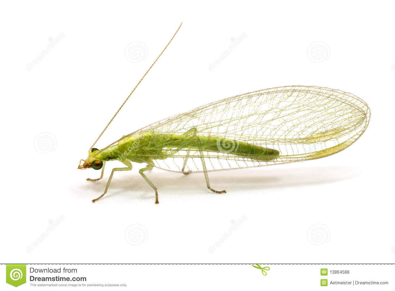 Chrysopidae-insect Green Lacewing Isolated Royalty Free ...