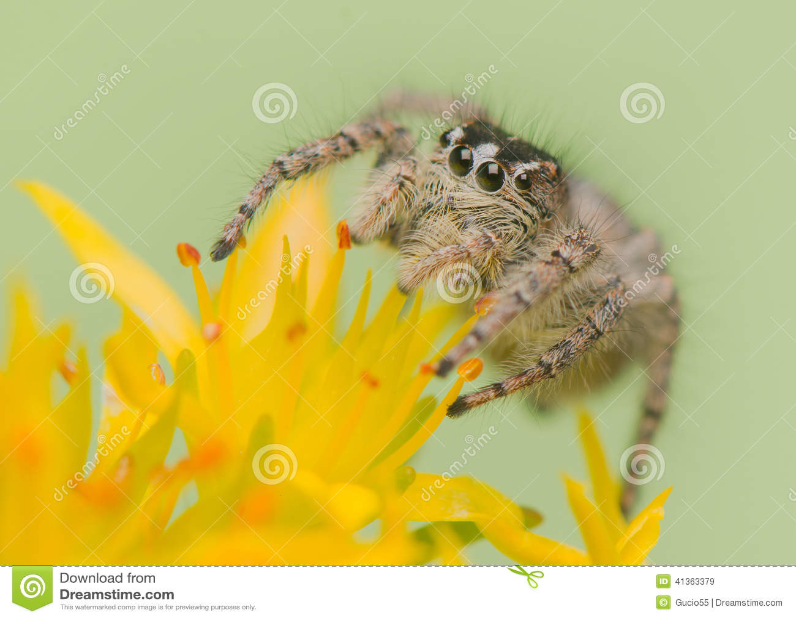 Chrysops de Philaeus - araignée sautante