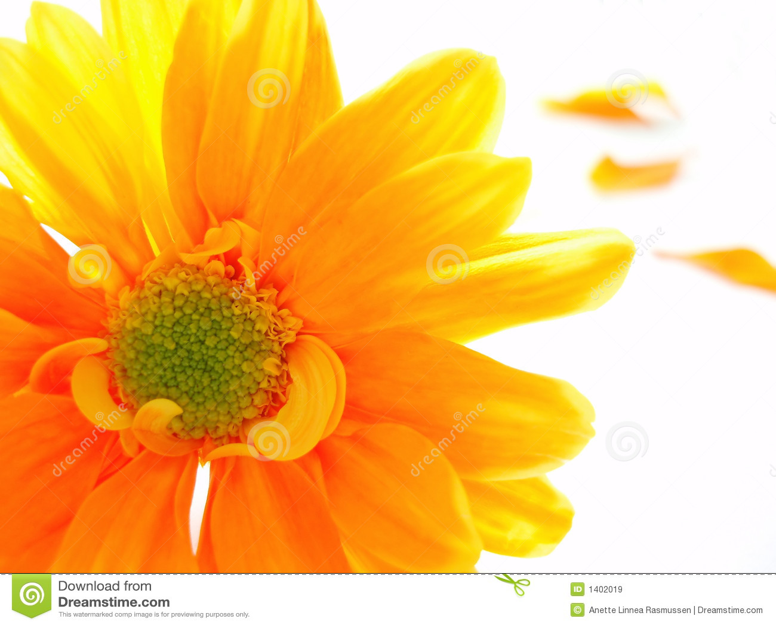 Chrystanthemum jaune et orange