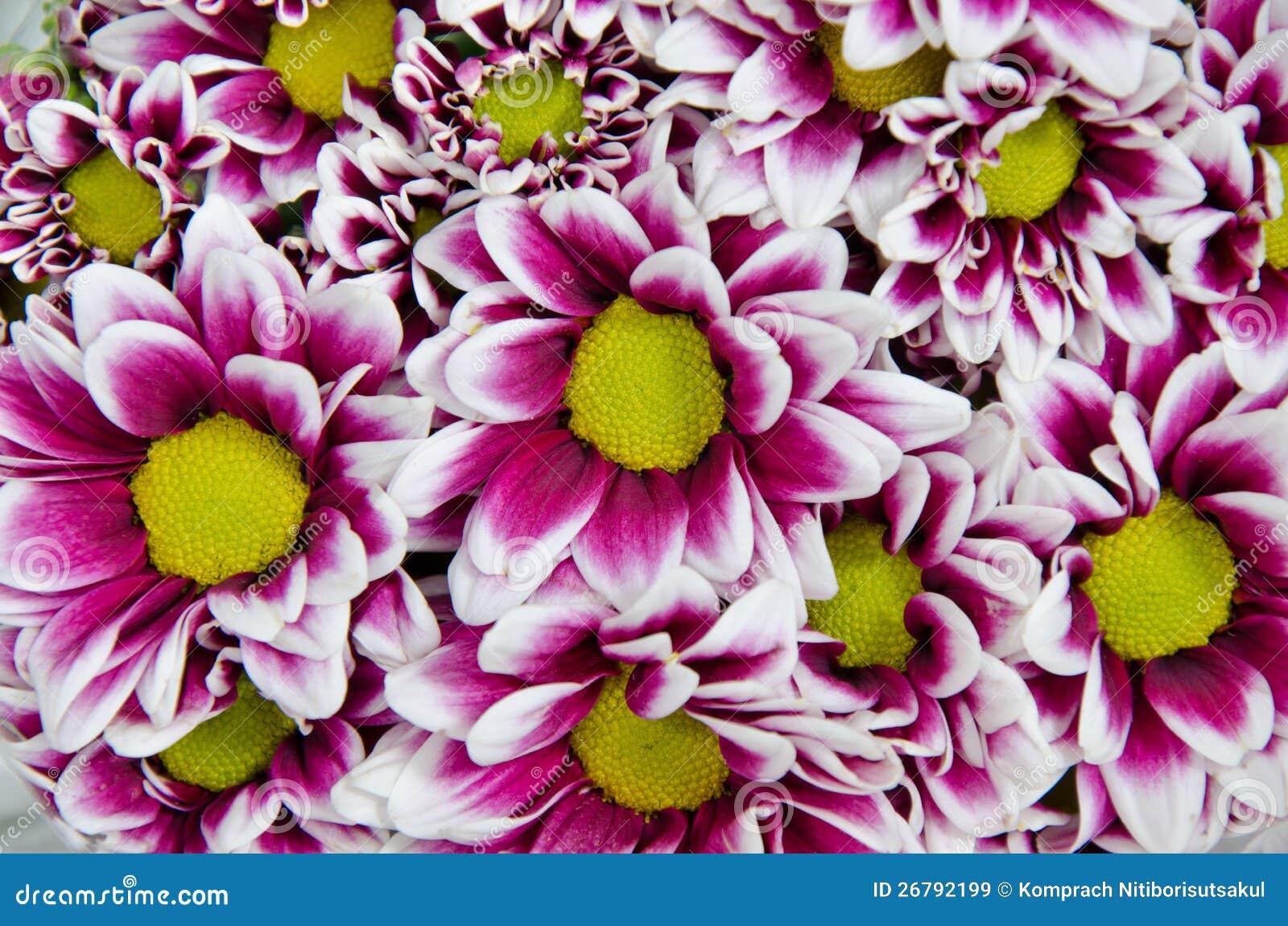Chryzantema kwiaty