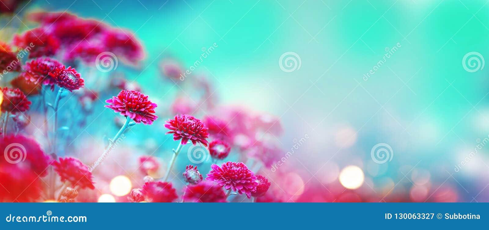 Chryzantema kwitnie kwitnienie w ogródzie Piękno jesieni kwiaty