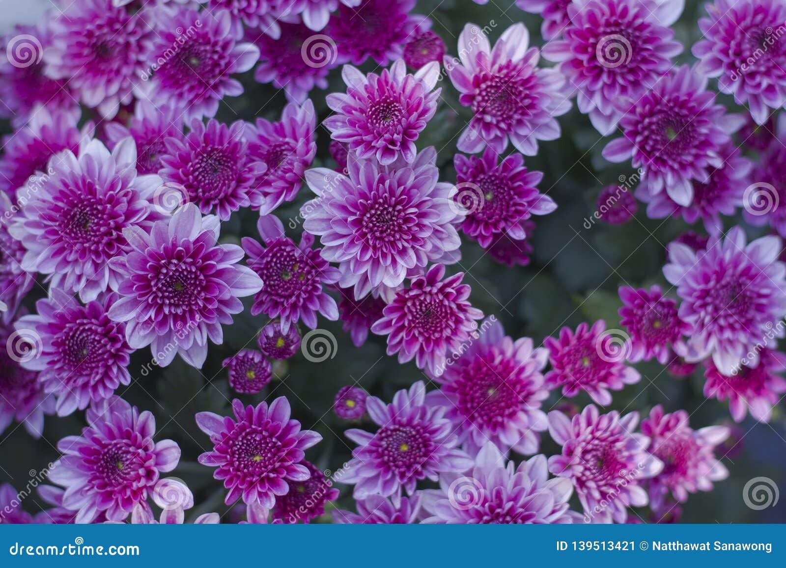 Chryzantema pięknych różowych i białych żebra Kwiaty dekorujący z domem i ogródem