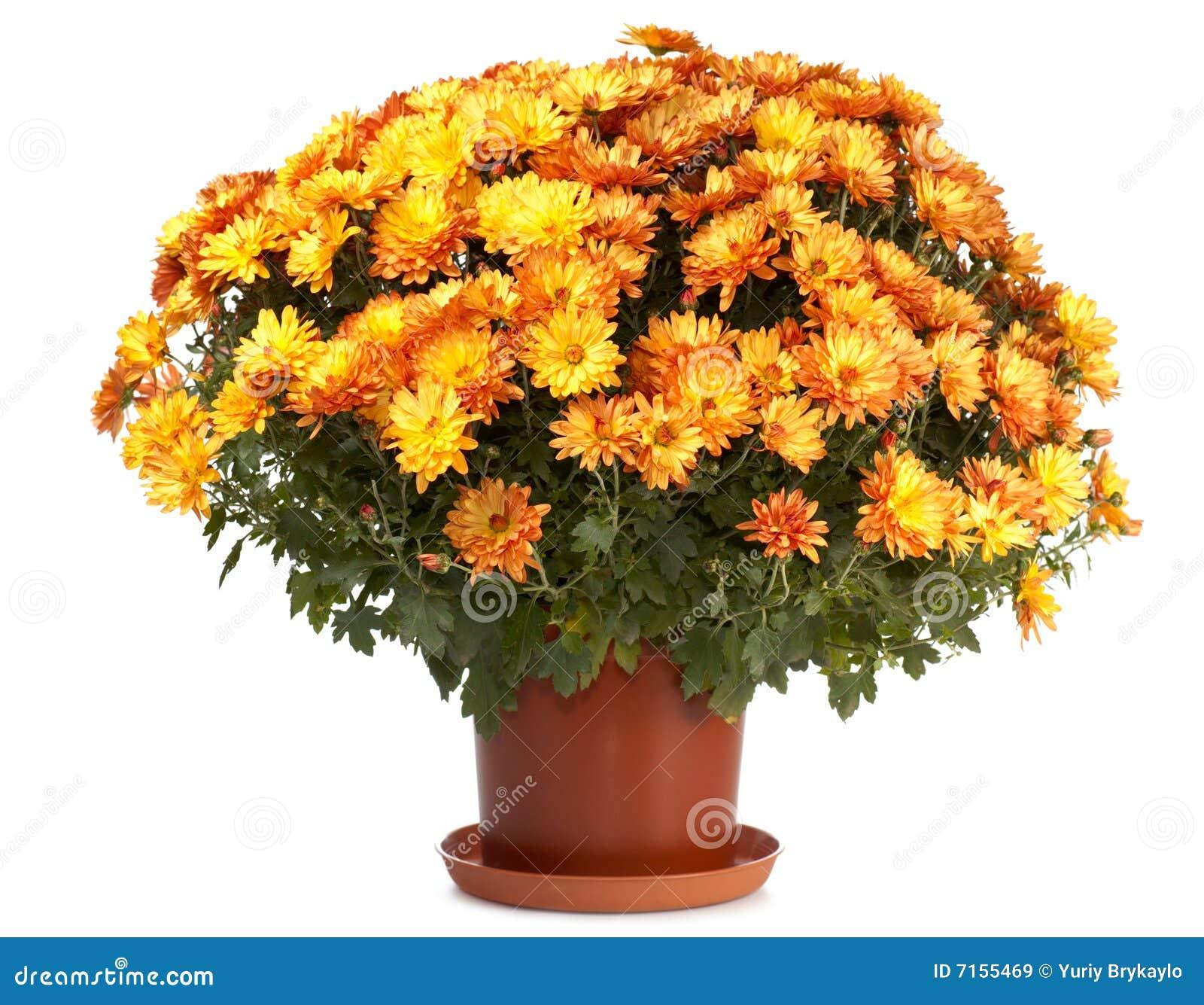 Chryzantemy flowerpot