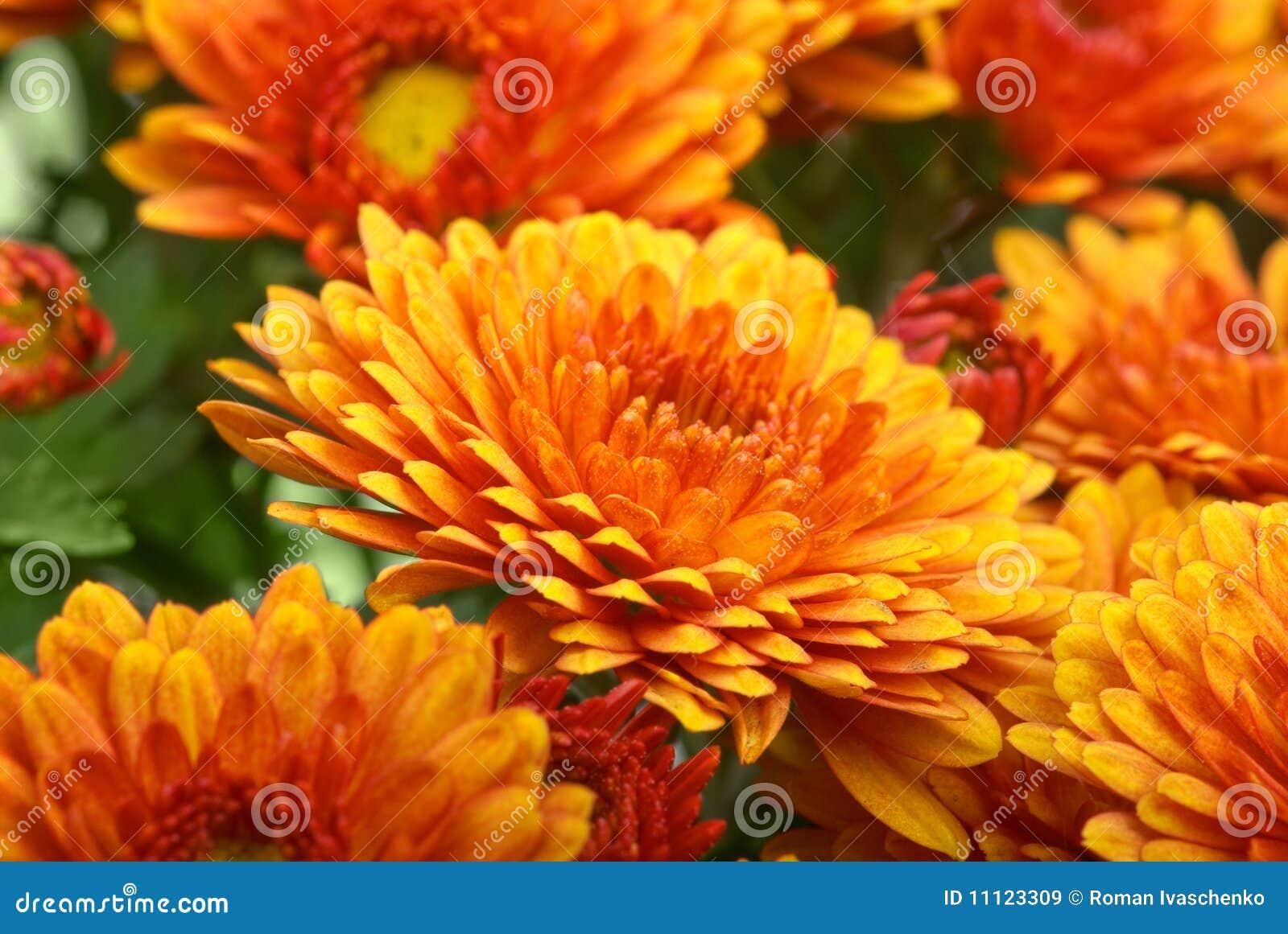 Chryzantemy kwiatu pomarańcze