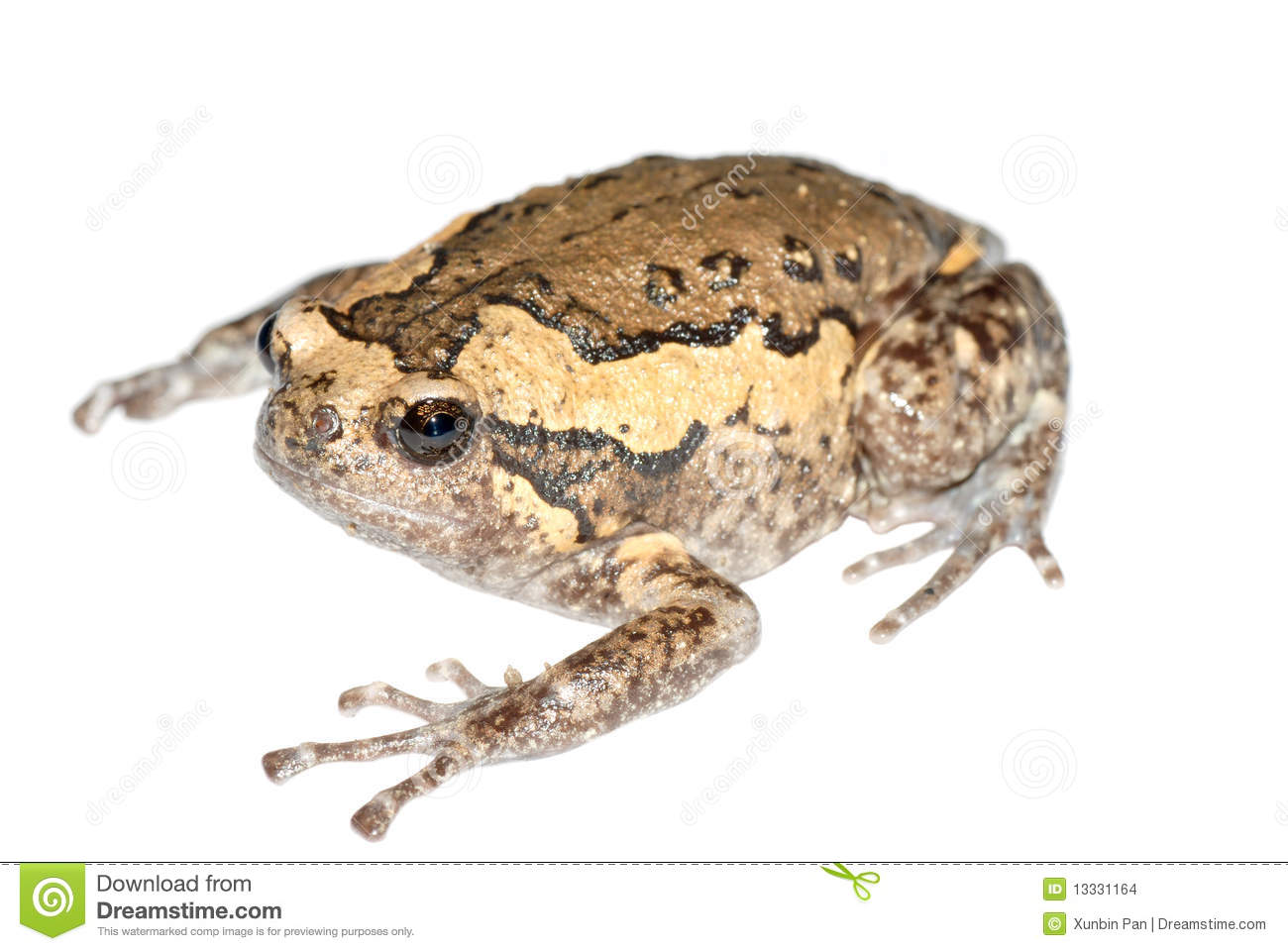 Chubby Frog Stock Images Image 13331164