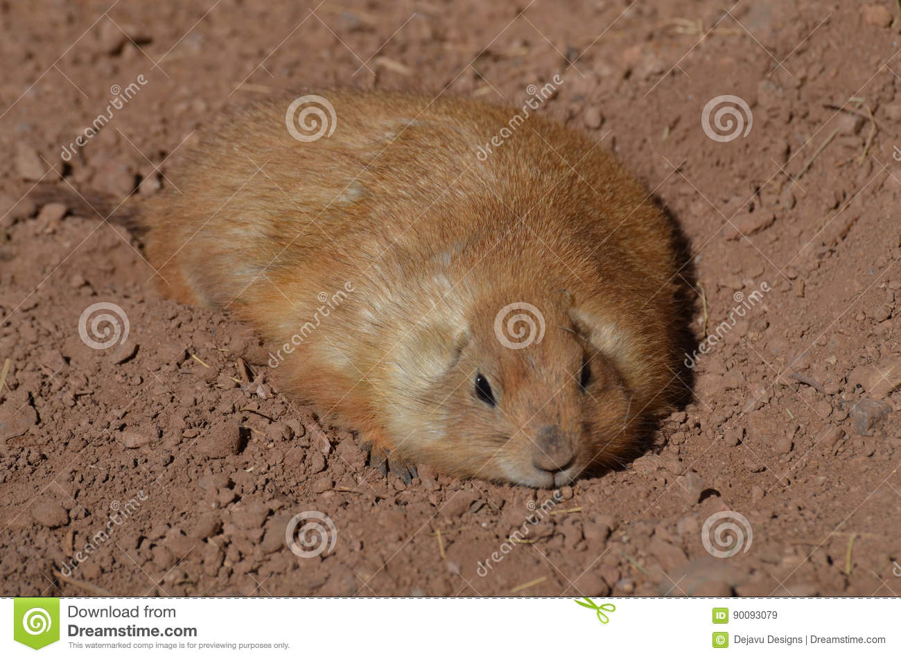 Good Designer Chubby Adorable Dog - chubby-prairie-dog-resting-shallow-hole-adorable-fat-dirt-90093079  Image_188284  .jpg