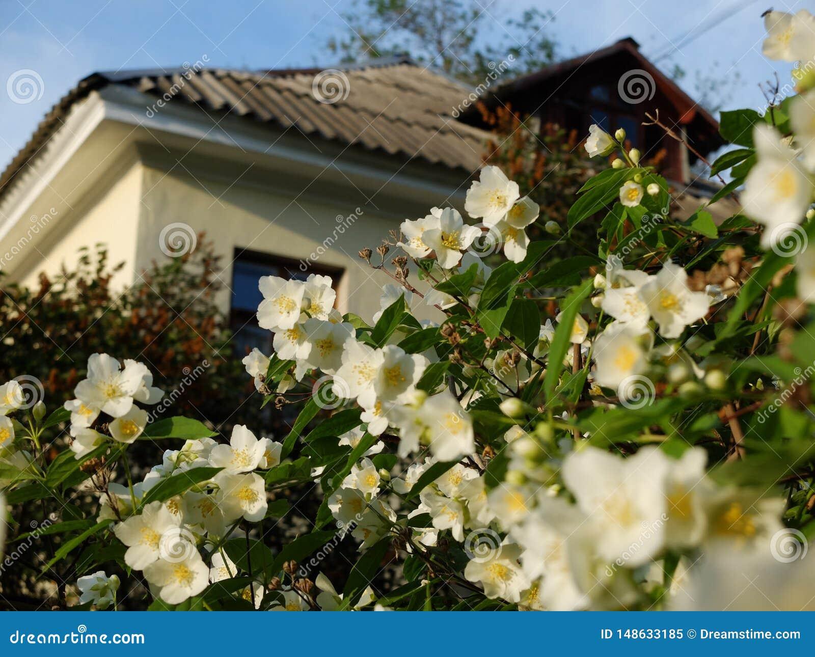 Chubushnik de florescência branco Casa com um jardim bonito