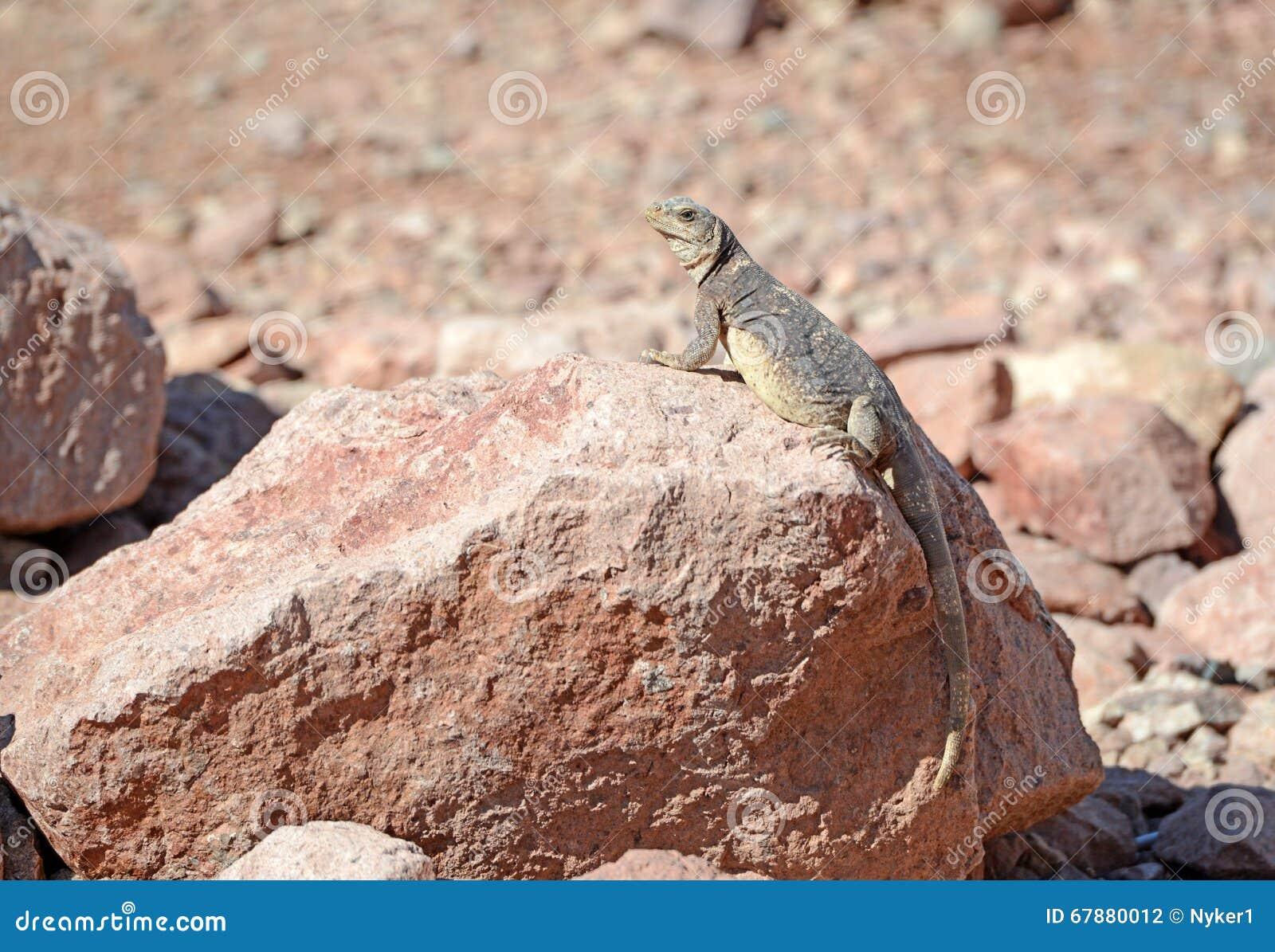 Chuckwalla蜥蜴在沙漠环境里