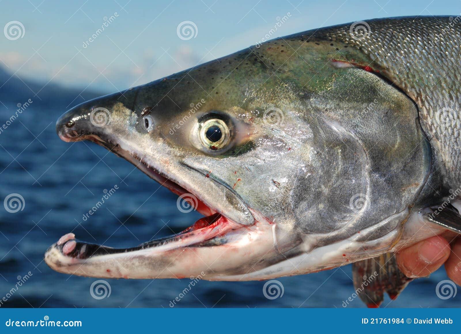 Chum Salmon British Columbia
