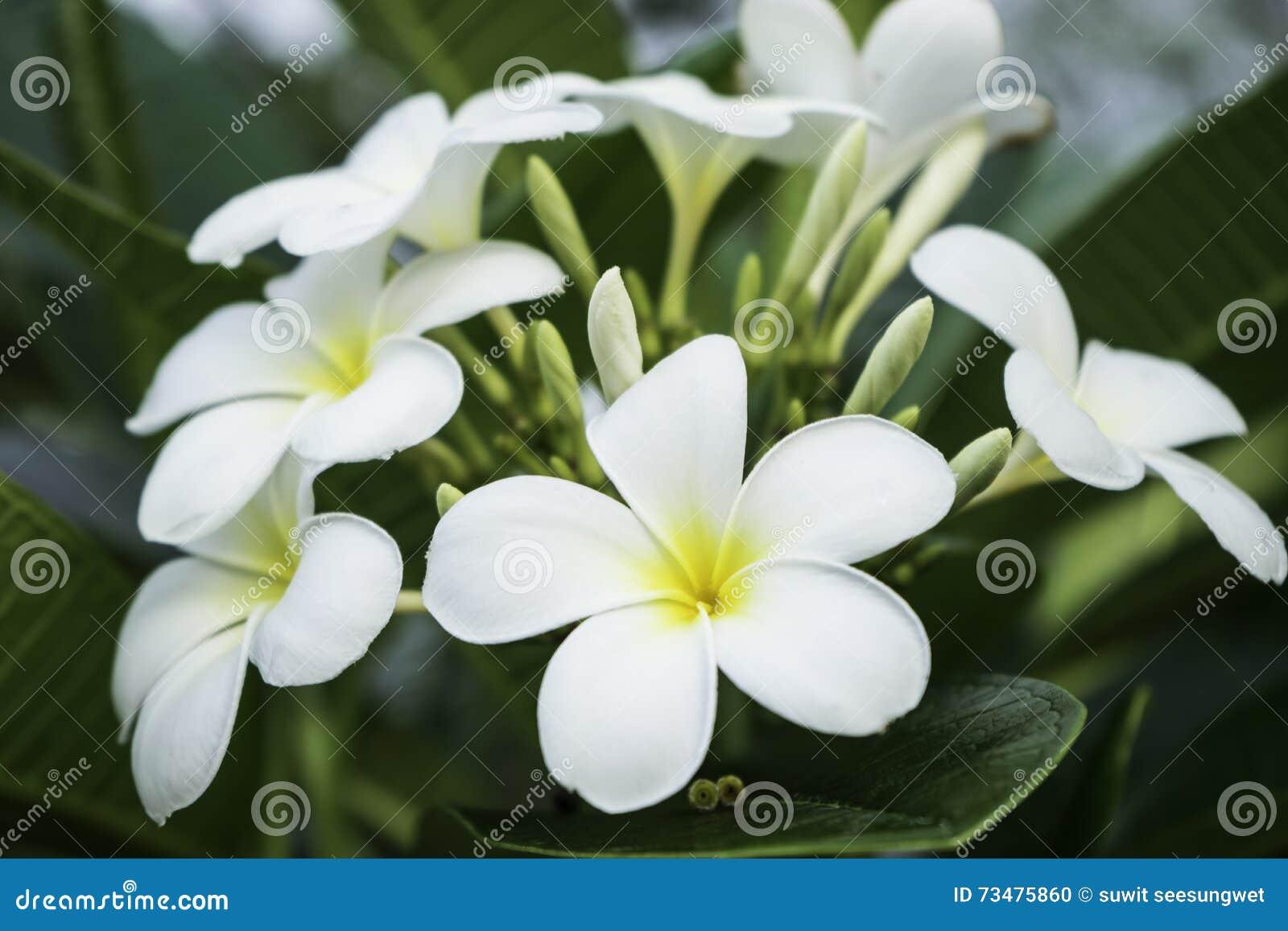 Chumpa花