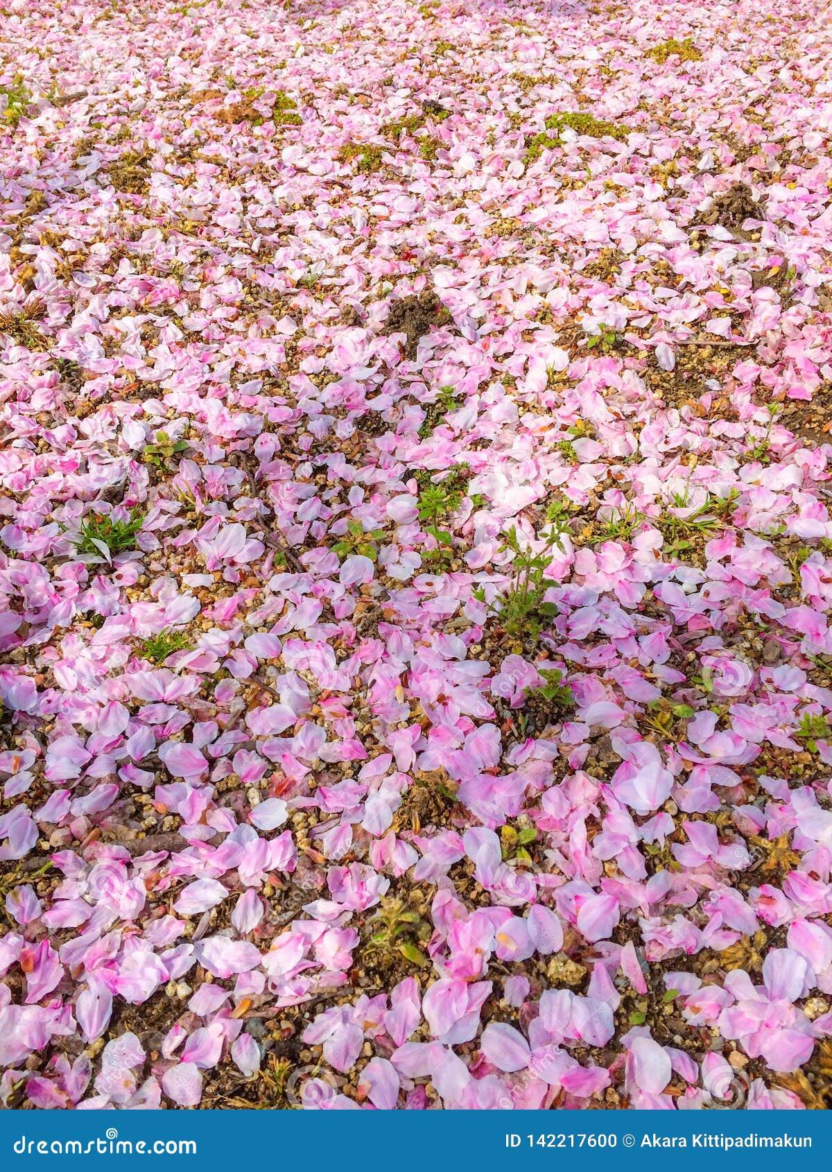 Chute des pétales rose coloré de fleurs de cerisier au sol