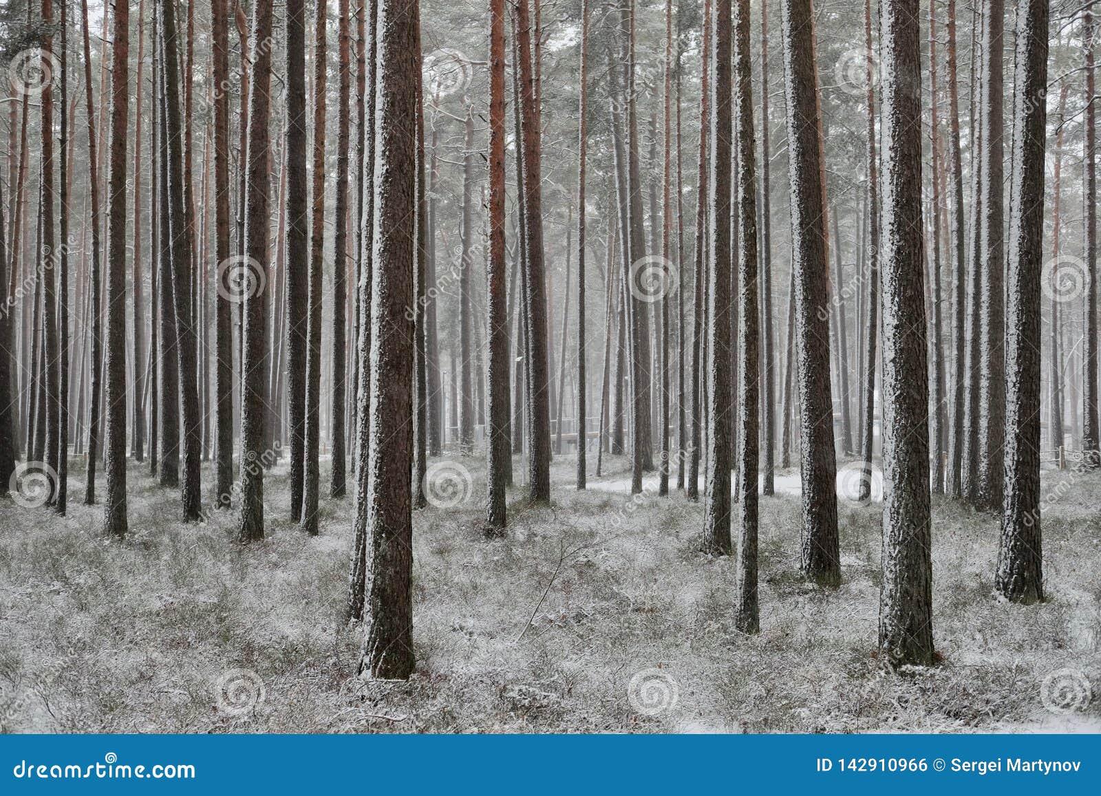 Chutes de neige dans une forêt de pin