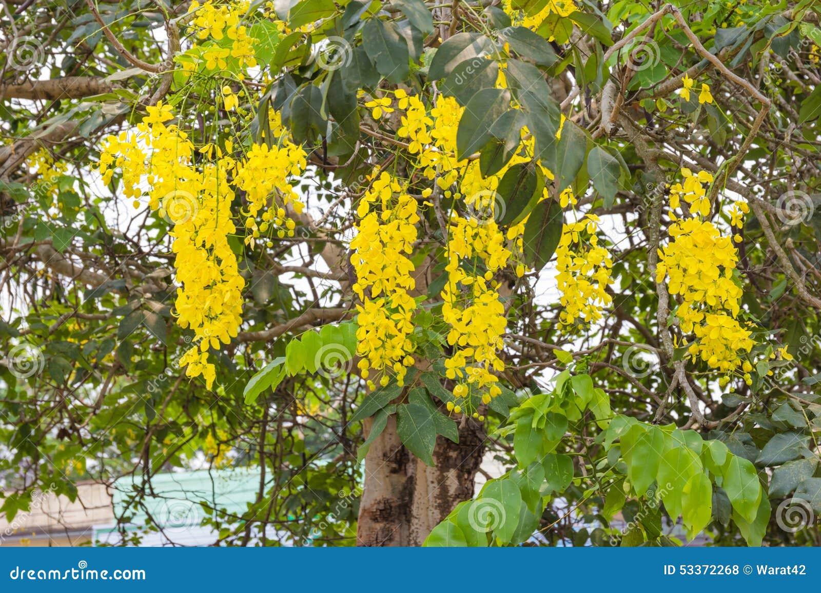 Chuveiro ou cassia fistula dourada rvore nacional de for Arboles perennes de crecimiento rapido