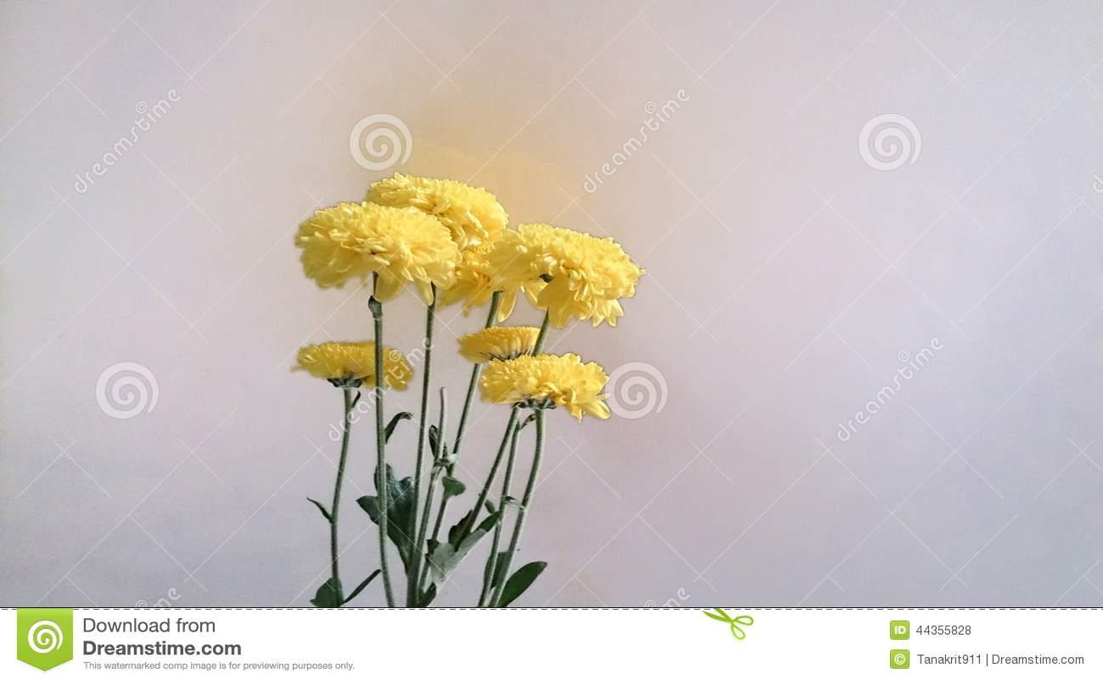 Chysanthemum giallo