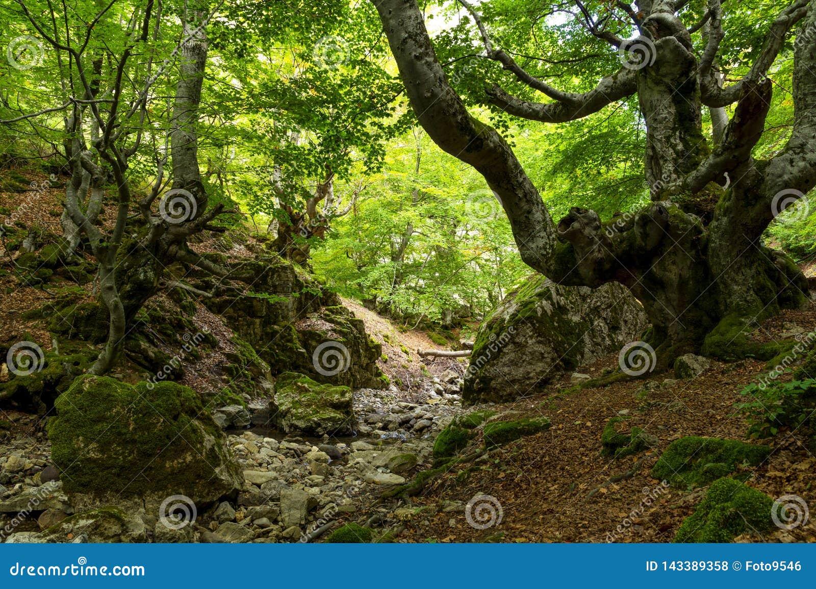Ciñera bokträdskog, Leon, Spanien