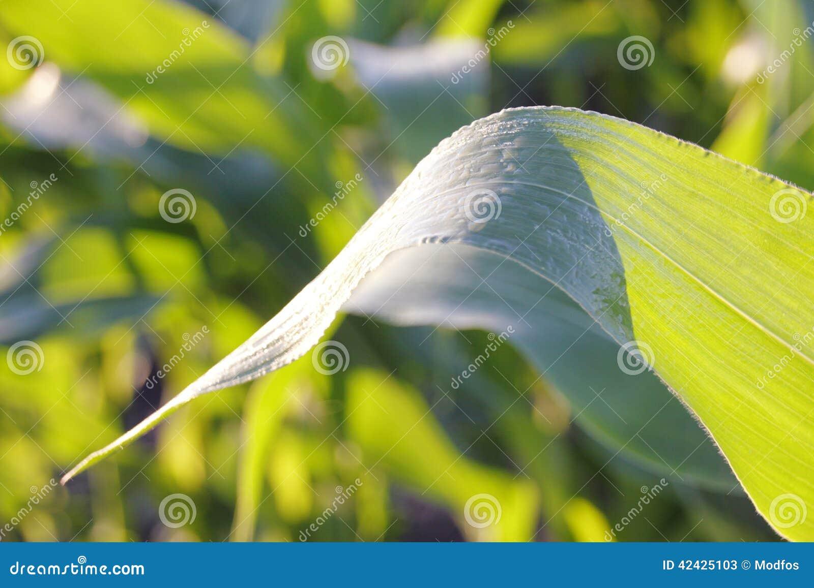 Ciérrese en la hoja del maíz