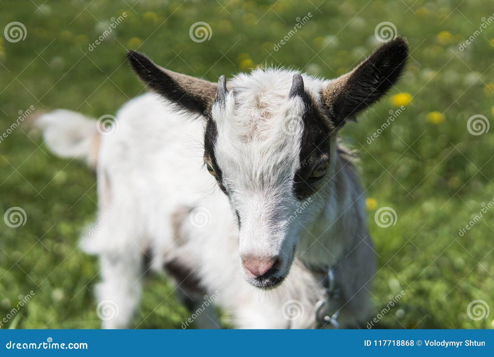 Ciérrese encima de cabra blanco y negro del bebé en una cadena contra las flores de la hierba en un fondo Pastan al niño ridículo