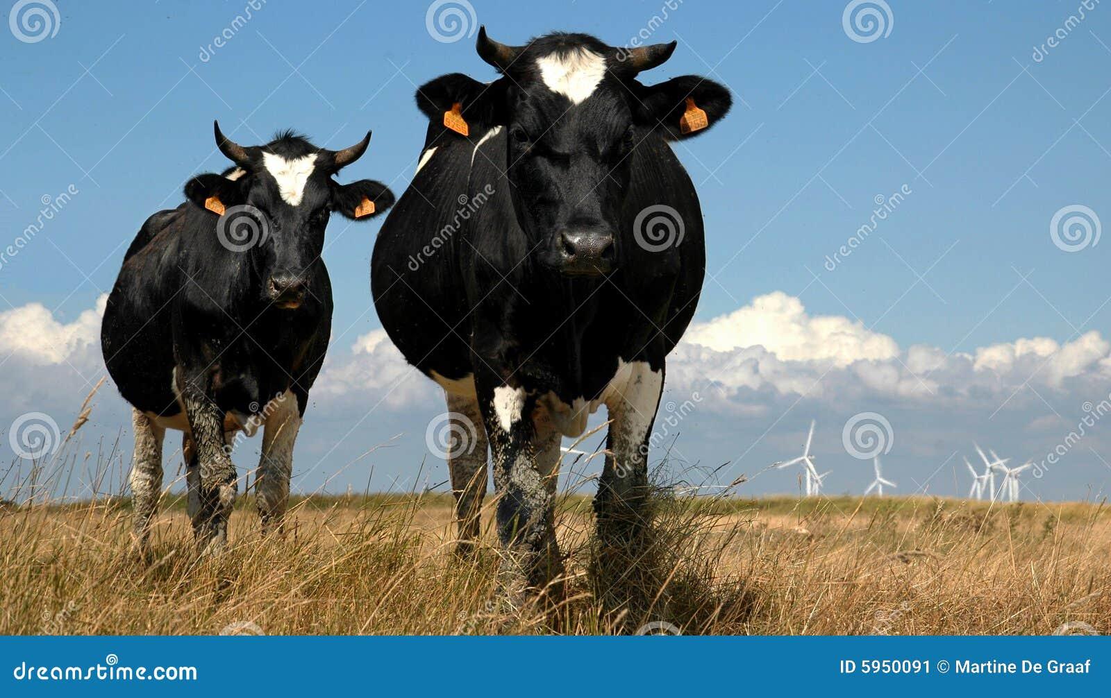 Ciérrese encima de dos vacas