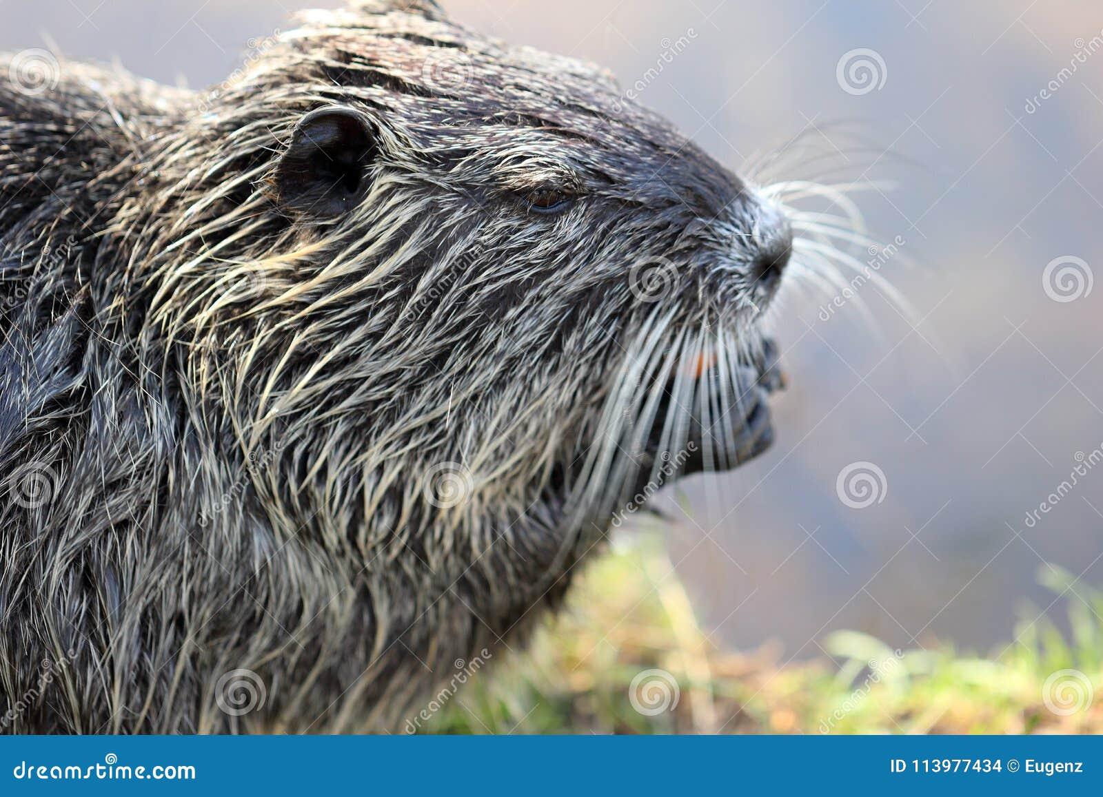 Ciérrese encima de fotografía de un solo nutria o coypu mientras que come una zanahoria en una orilla del río en un día soleado b