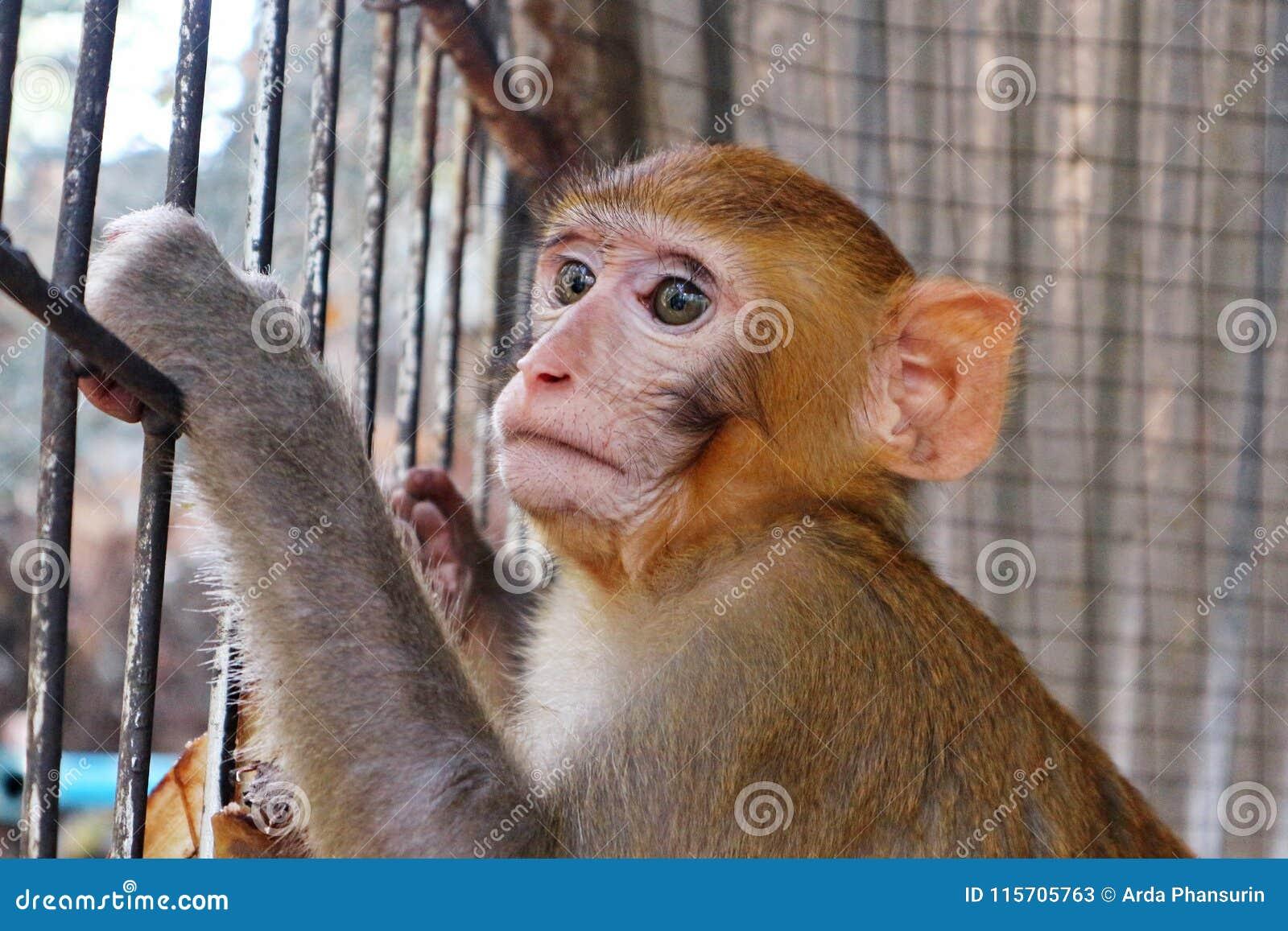 Ciérrese encima de la foto de un mono joven de Brown