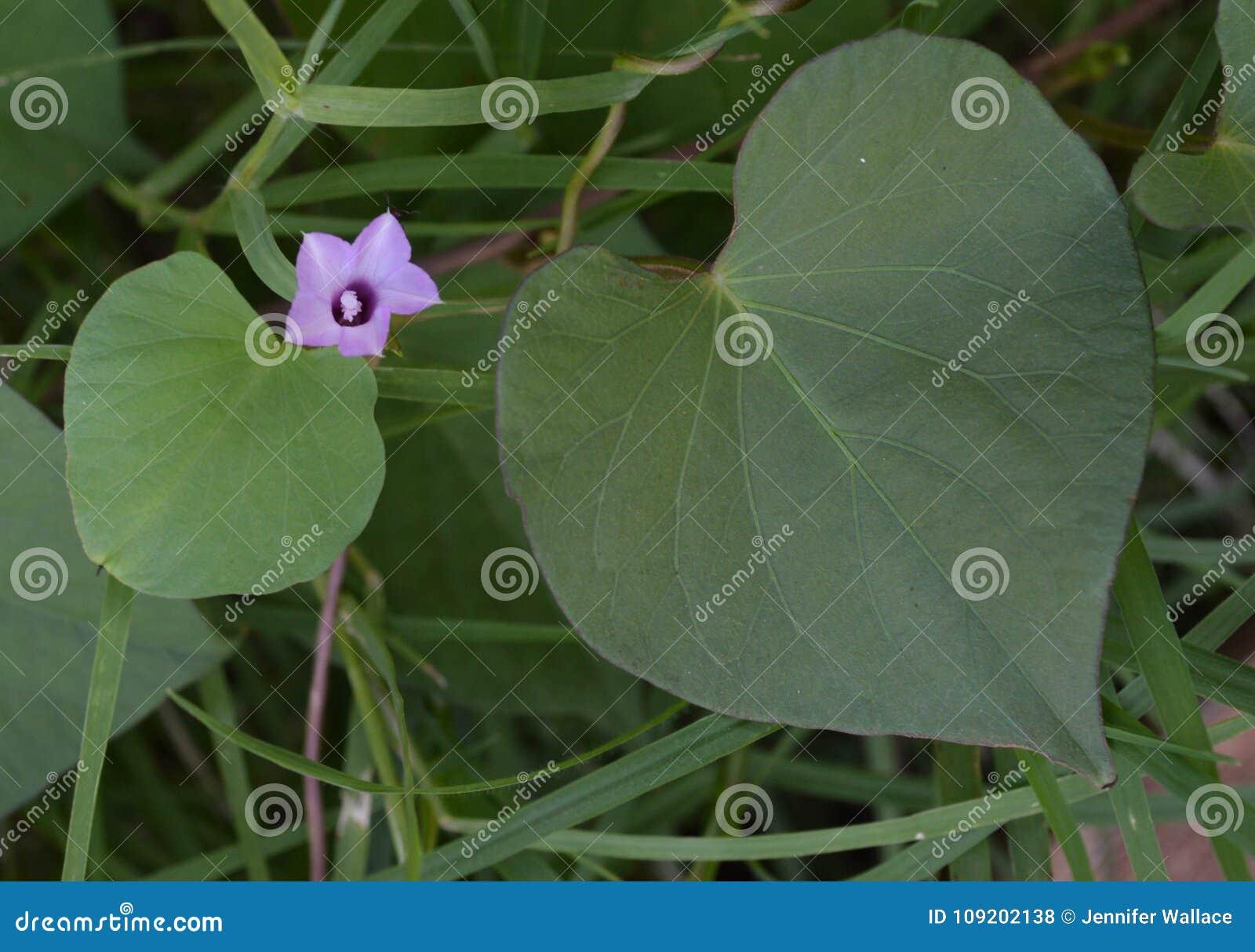 Ciérrese Encima De La Foto De Una Flor Púrpura Por Dos Hojas En