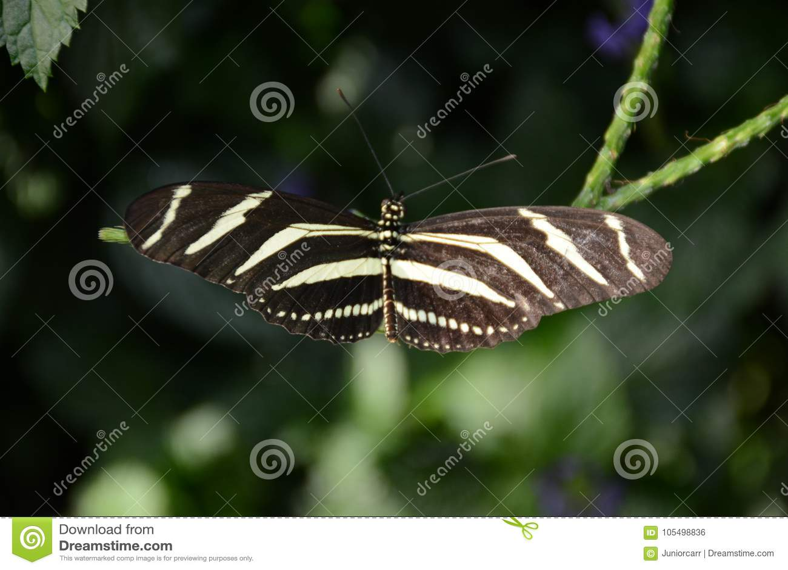 Ciérrese encima de la mariposa de Longwing de la cebra del tiro