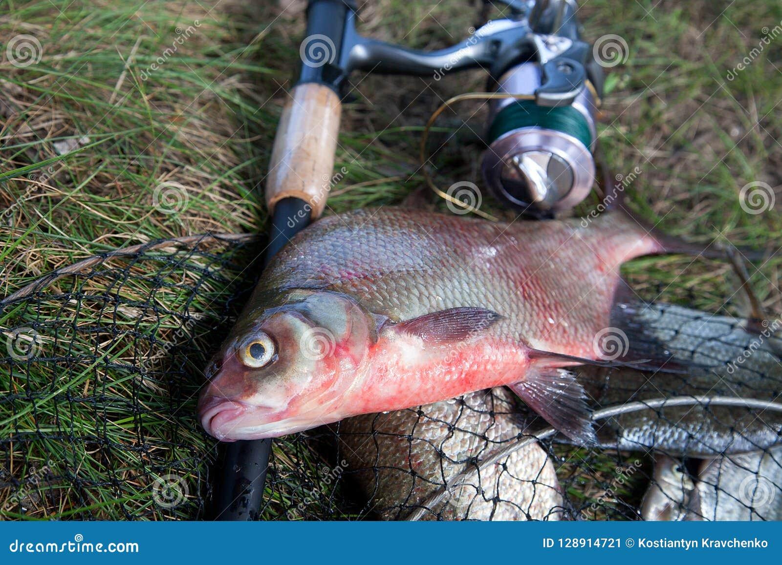 Ciérrese encima de la opinión los pescados comunes de agua dulce grandes de la brema y ro de la pesca