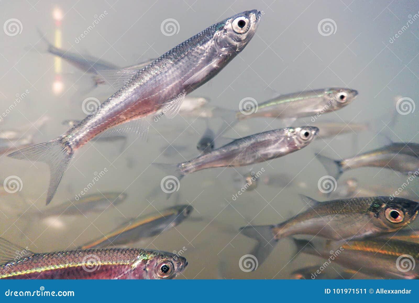 Ciérrese encima de la pesca bajo el agua Pescados del cebo de agua dulce