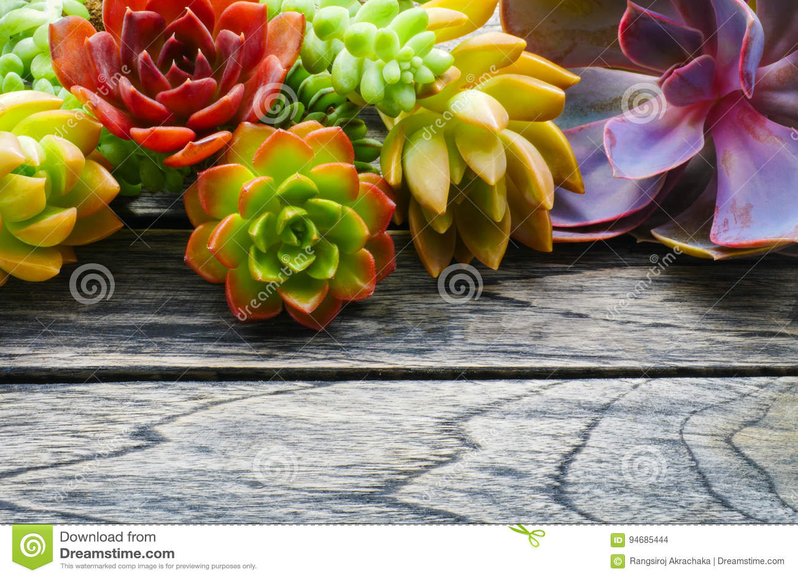 Ciérrese encima de la planta suculenta colorida linda con el espacio de la copia para el texto en fondo de madera de la tabla