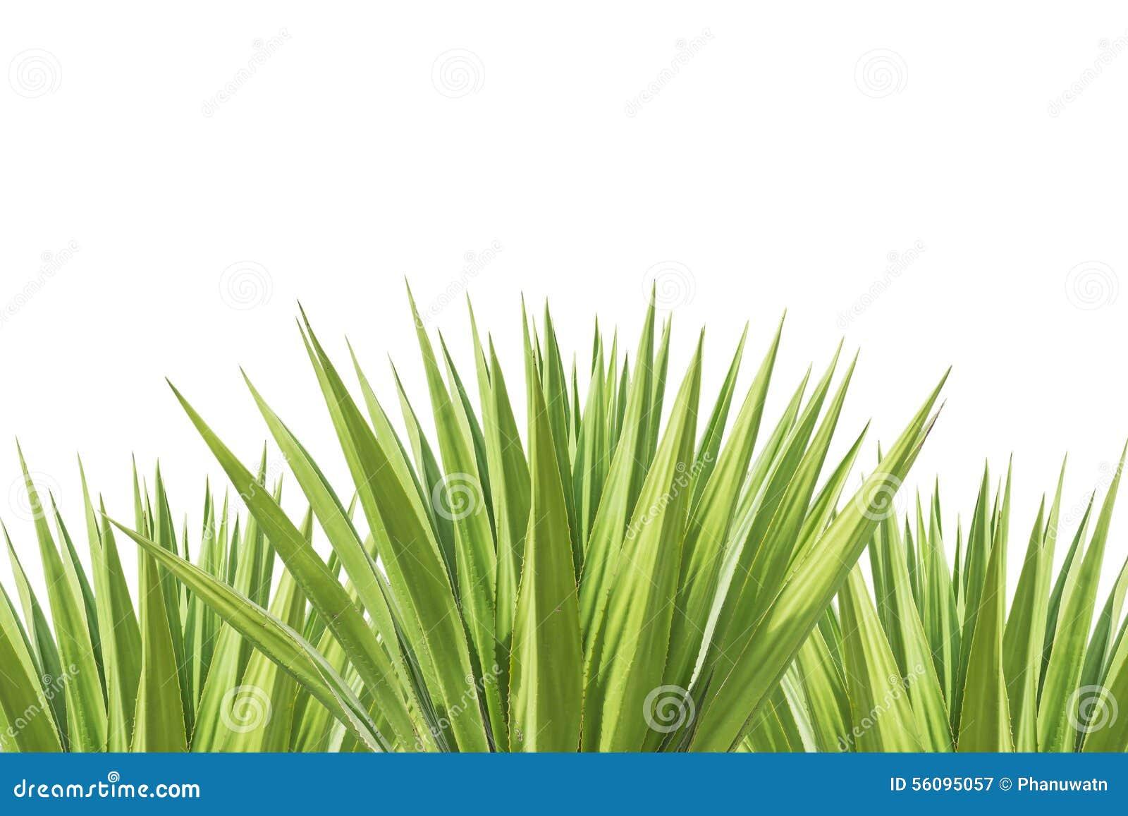 Ciérrese encima de la planta verde del agavo aislada en blanco