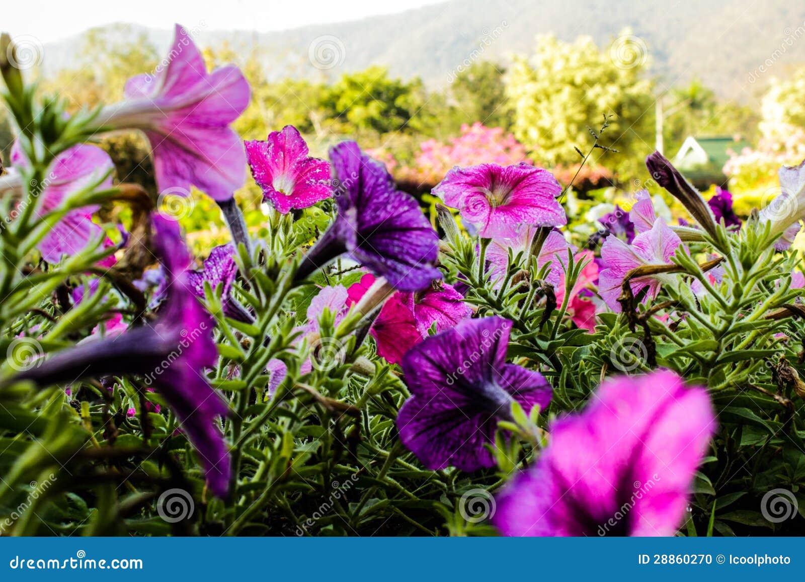 Ciérrese encima de las flores coloridas de la petunia