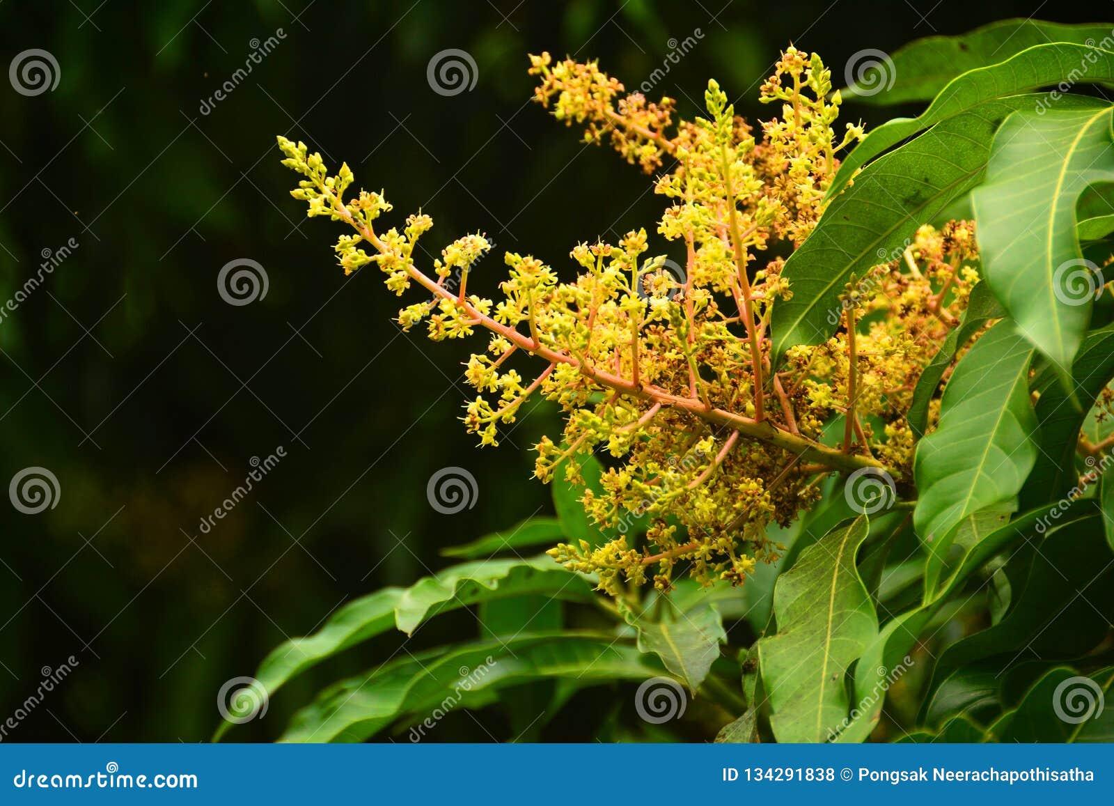 Ciérrese encima de las flores del mango