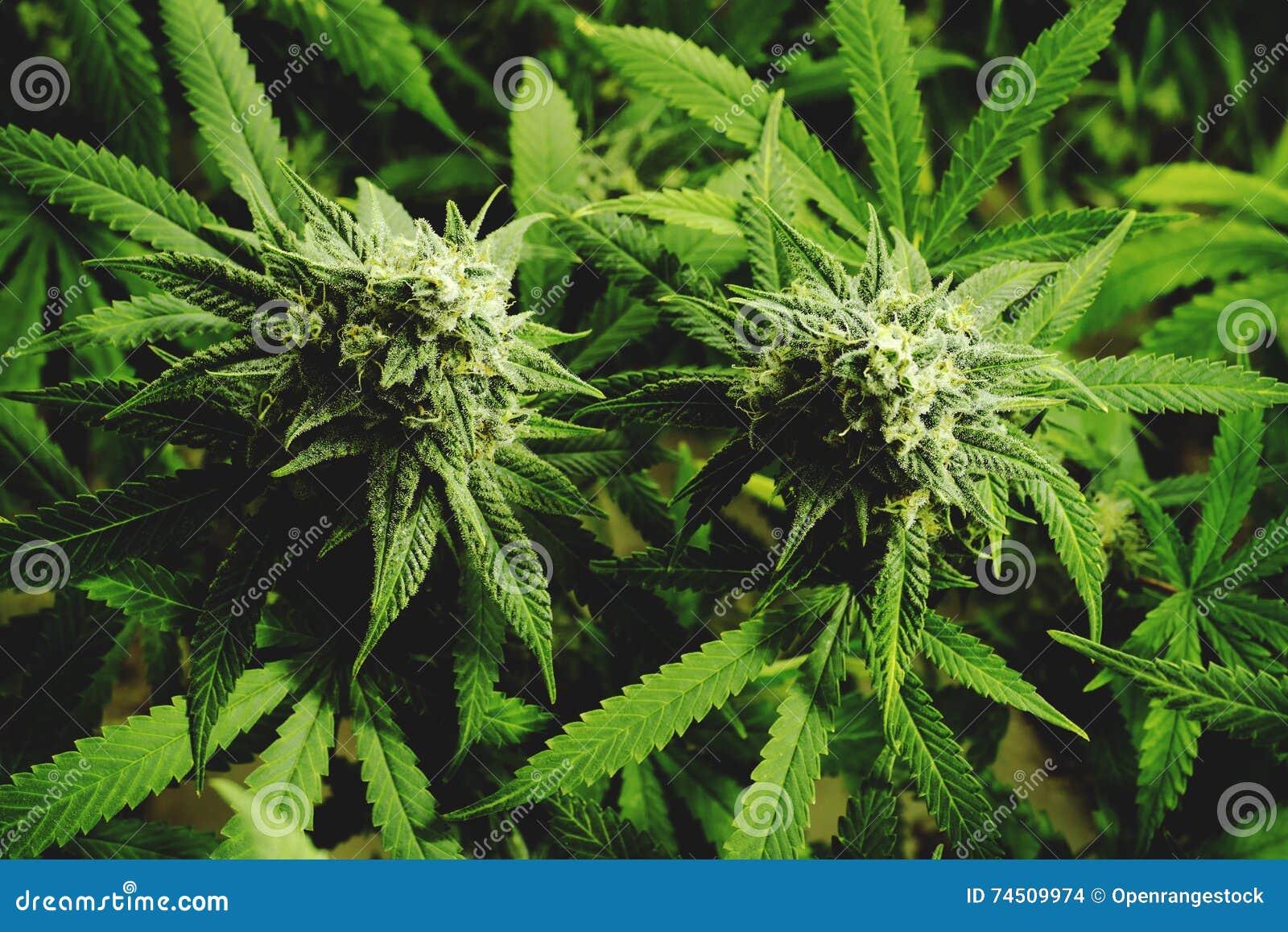 Ciérrese encima de los brotes florecientes de la marijuana en las plantas del cáñamo con el filtro plano del vintage