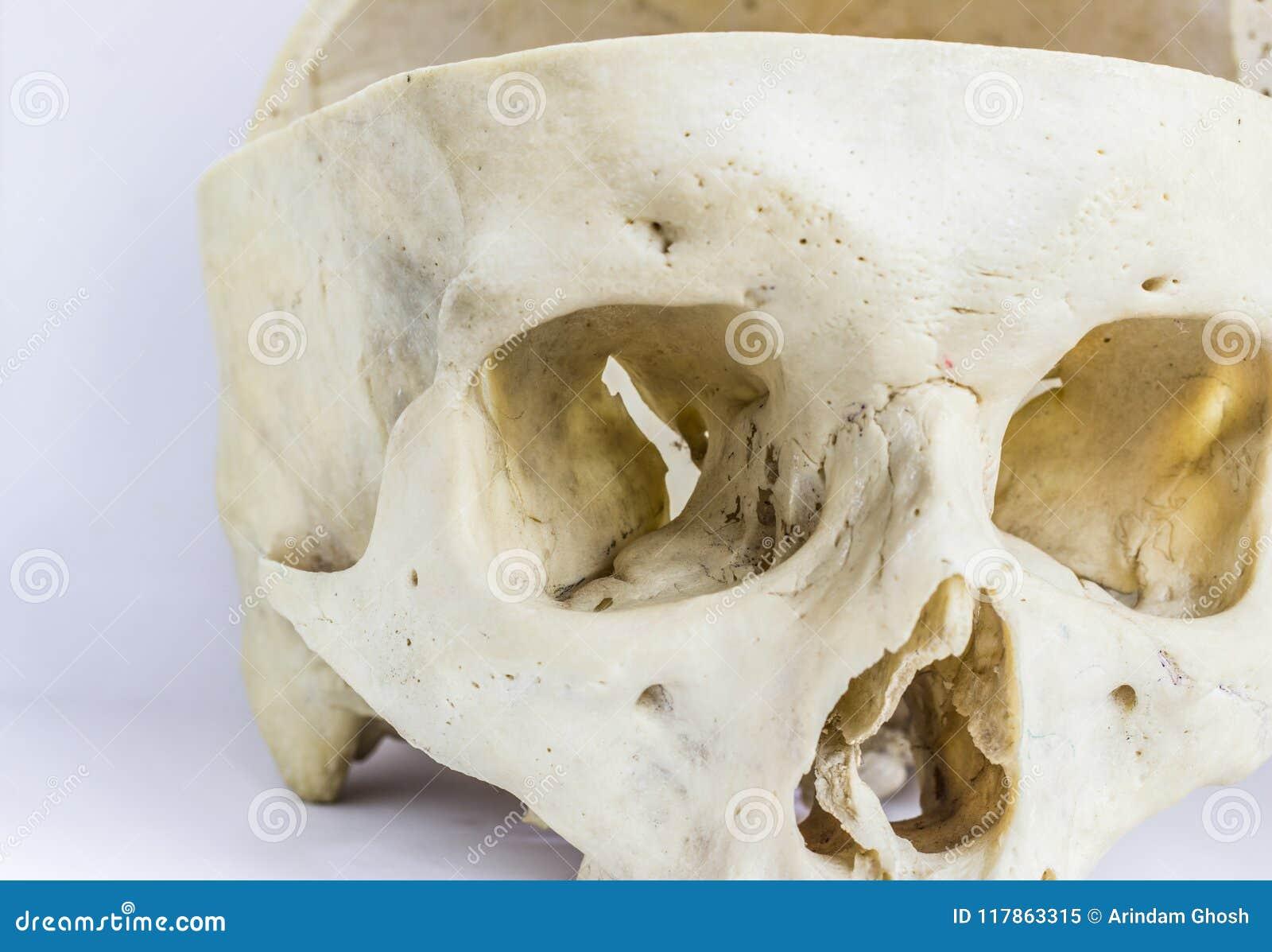 Ciérrese Encima De Vista Macra Del Hueso Humano Del Cráneo Que ...