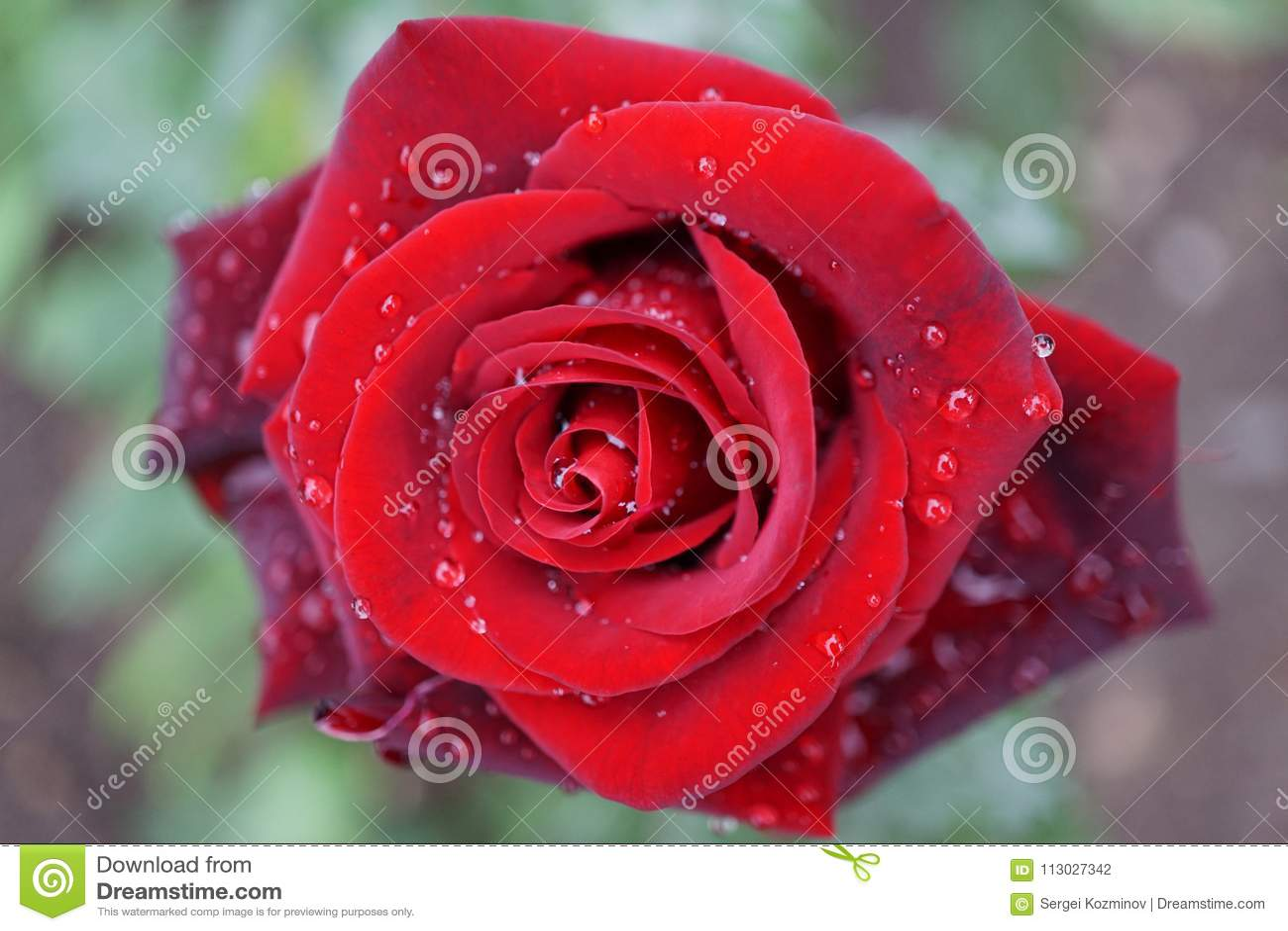 Ciérrese encima de vista superior de las variedades rojas brillantes semiabiertas de una flor de