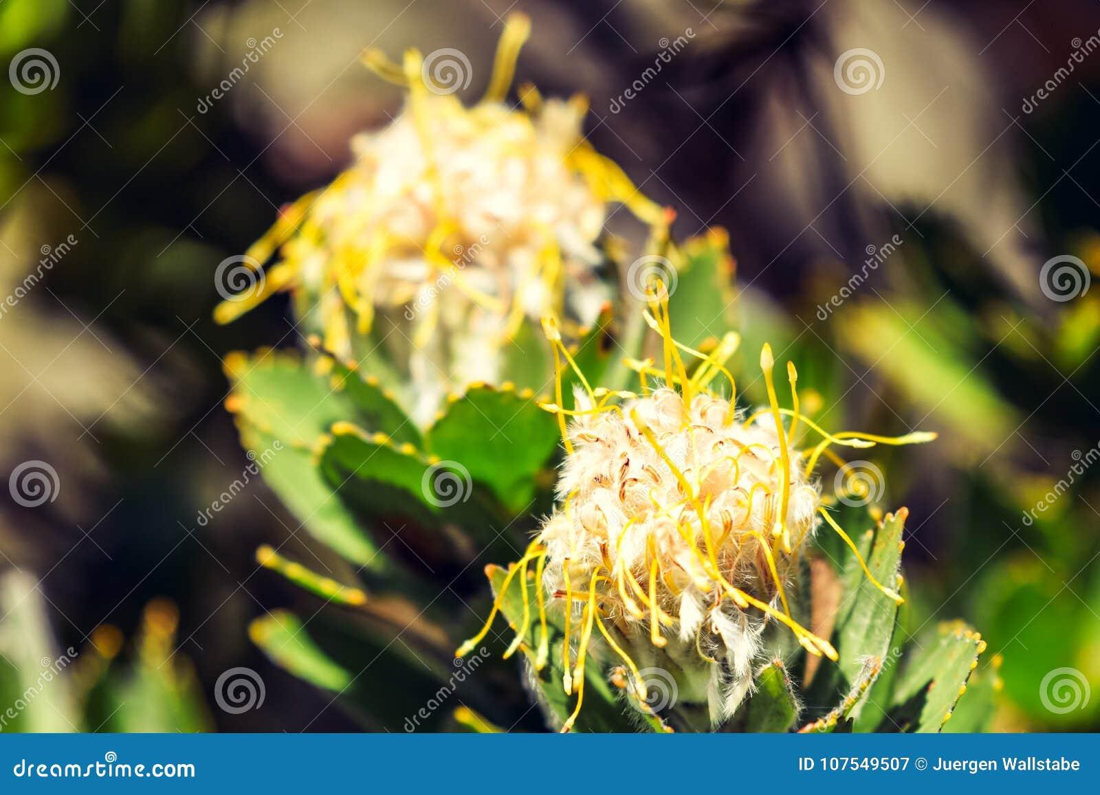 Ciérrese encima de vista de una flor amarilla de Leucospermum del acerico en la pista de senderismo de Kasteelspoort