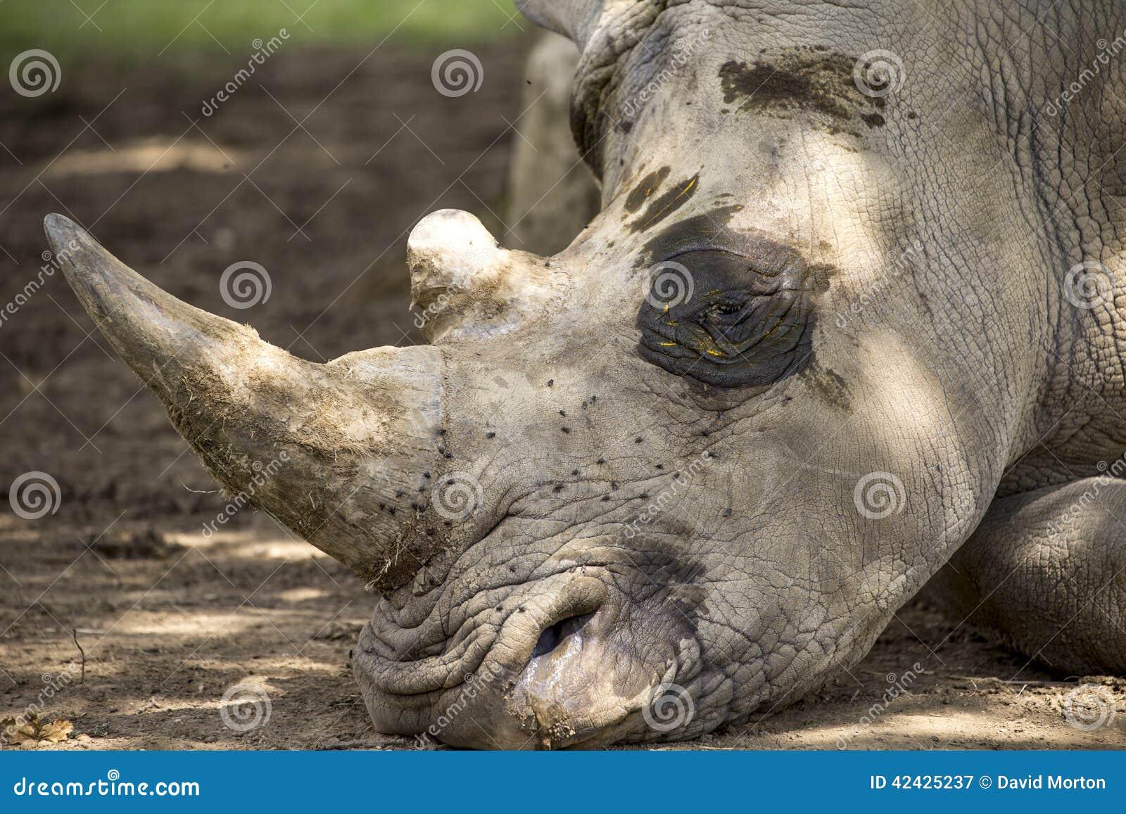 Ciérrese encima del detalle de la cabeza blanca del rinoceronte