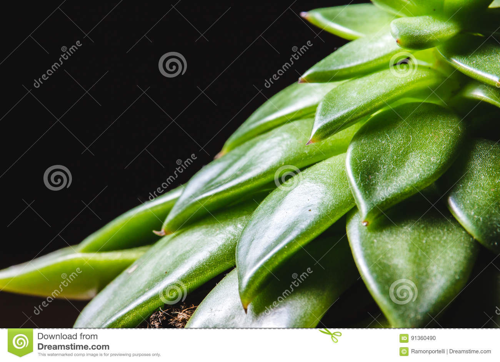 Ciérrese encima del extracto de hojas de punta de un pl interior suculento verde