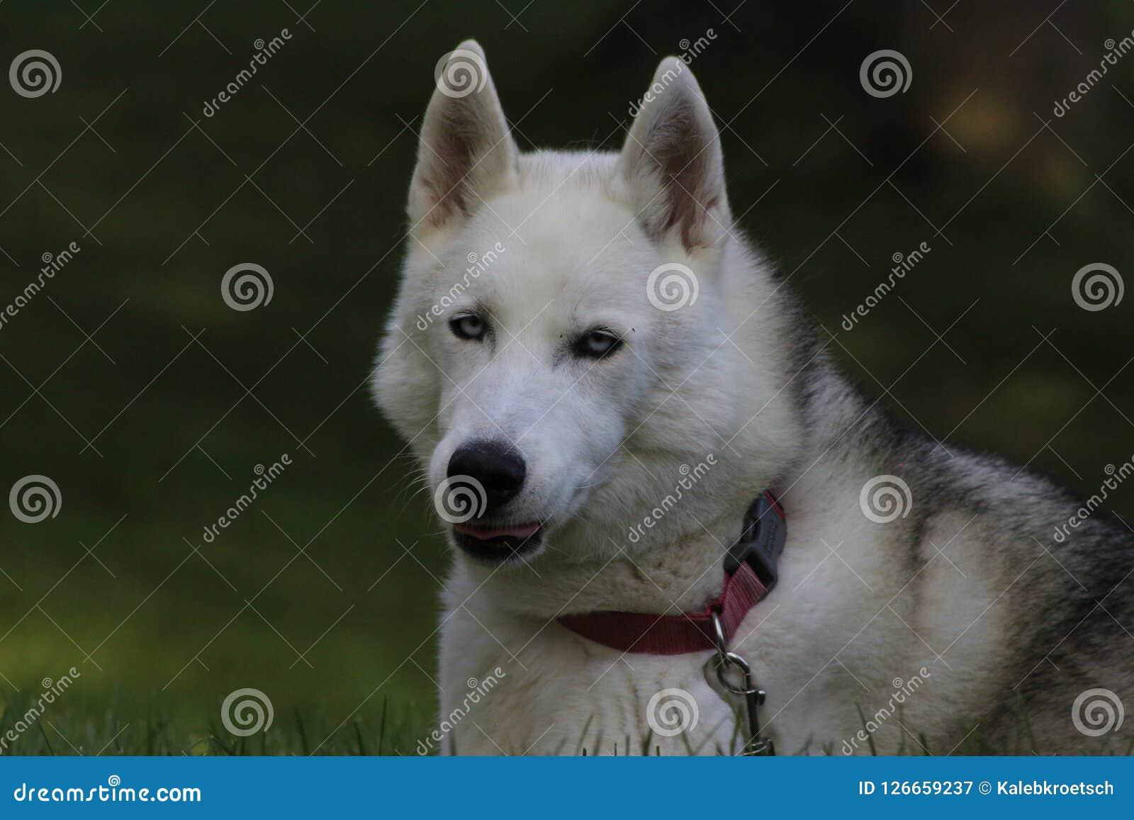 Ciérrese encima del perro esquimal hermoso del perro, la raza ártica magestic