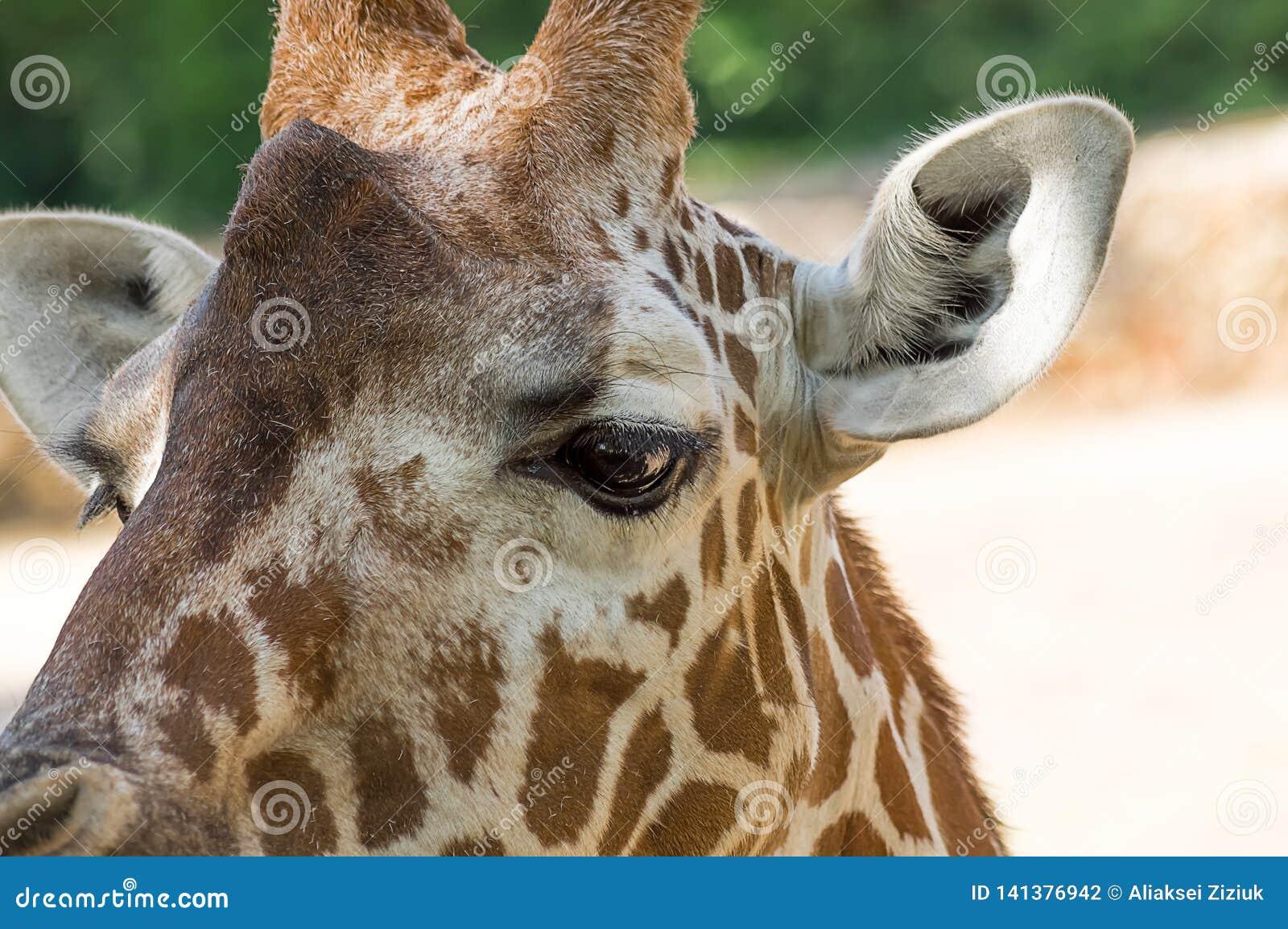 Ciérrese encima del retrato de la jirafa del Masai
