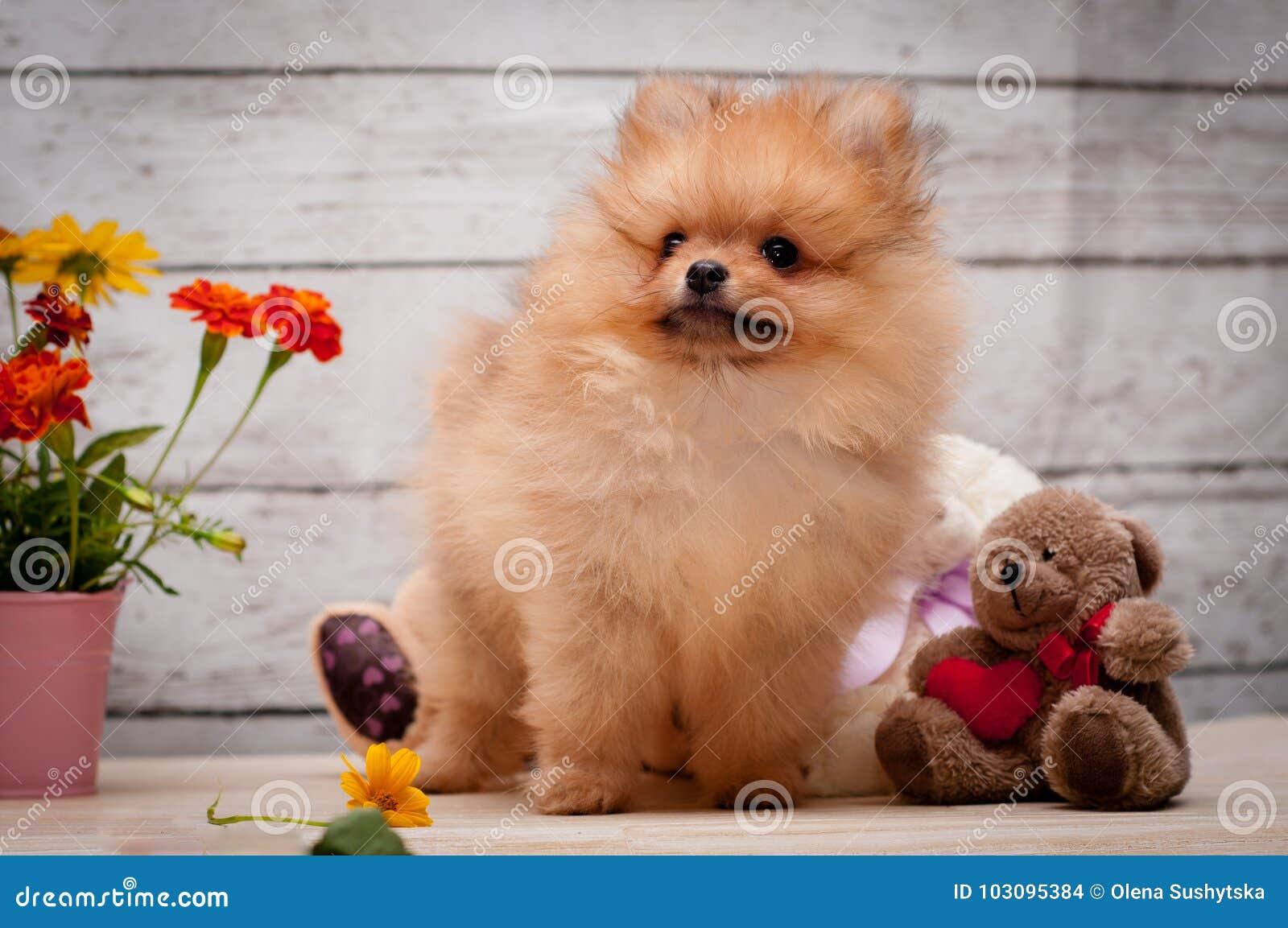 Ciérrese Encima Del Retrato Del Pequeño Perro Rojo Del Perro De ...