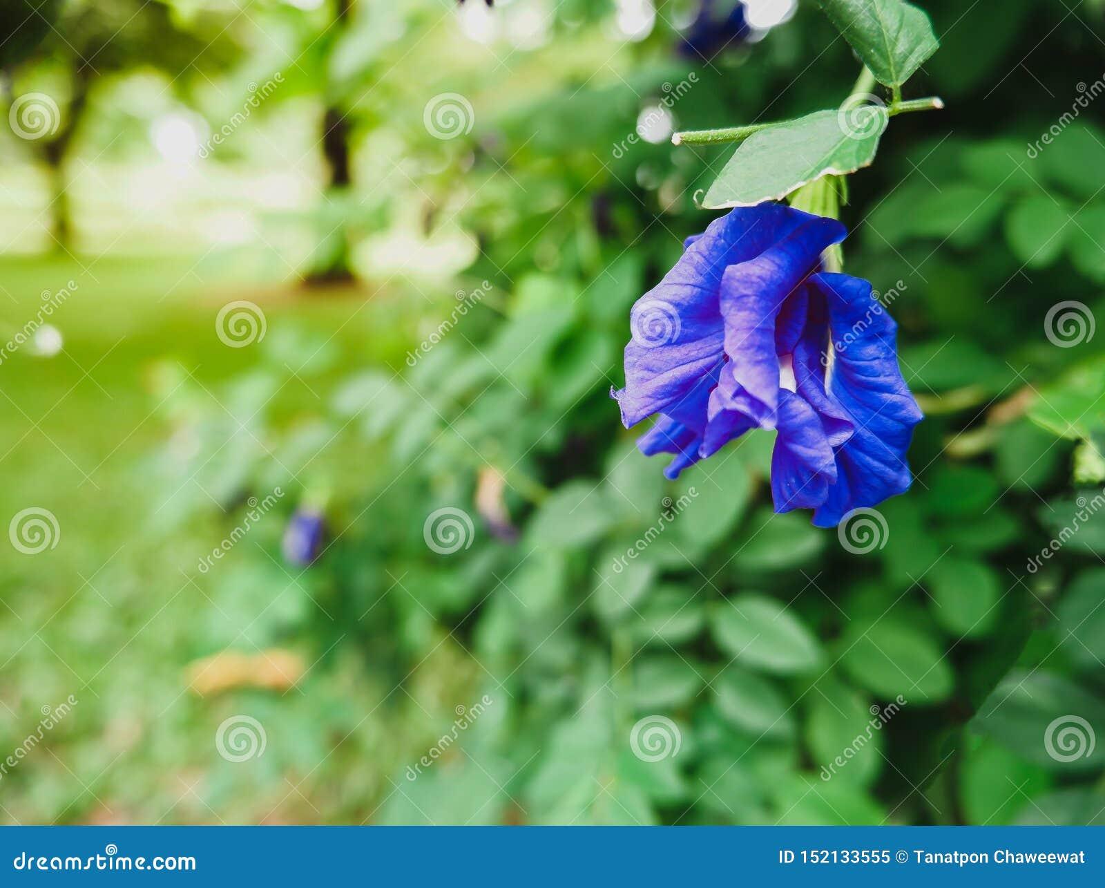 Ciérrese para arriba al costado de ternatea azul del Clitoria de las flores del guisante púrpura