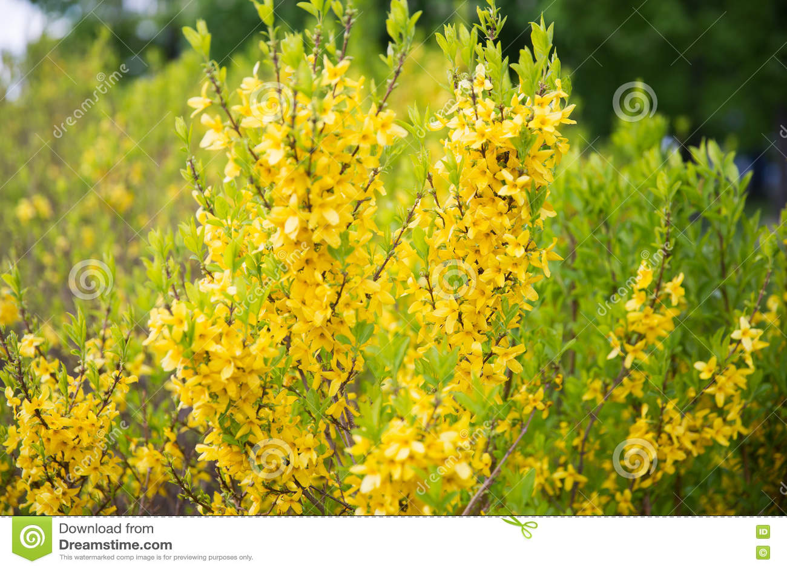 Fiori Primaverili Gialli.Arbusto Fiori Gialli Primaverili
