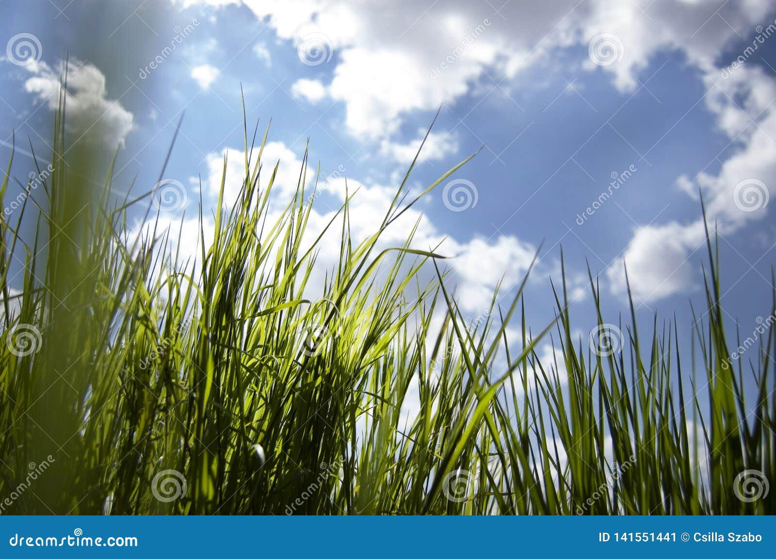 Ciérrese para arriba de, bajo opinión la nueva hierba fresca del crecimiento, mirando a través de hierba, los rayos de la mañana