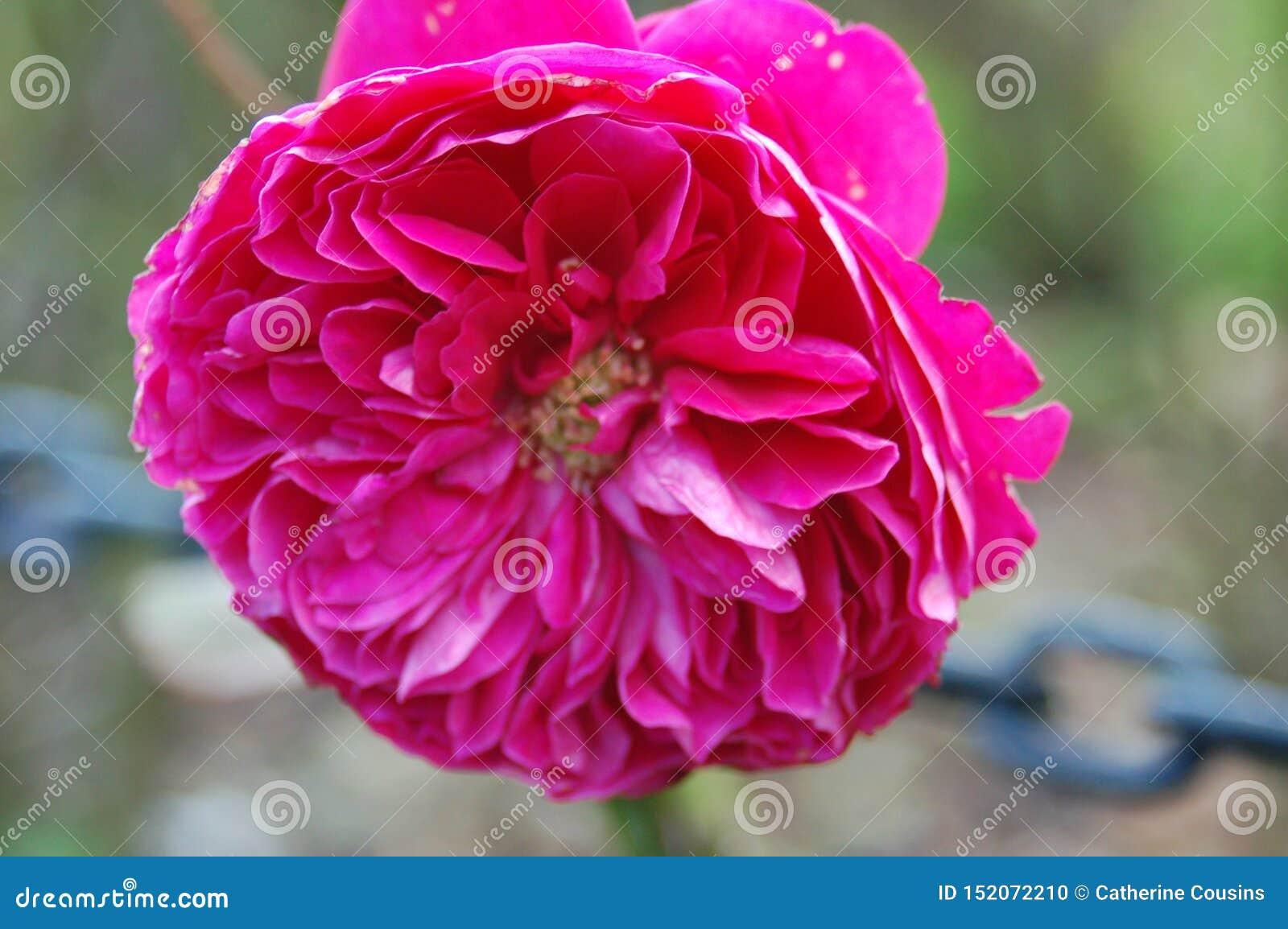 Ciérrese para arriba de flores rosadas grandes con muchos pétalos