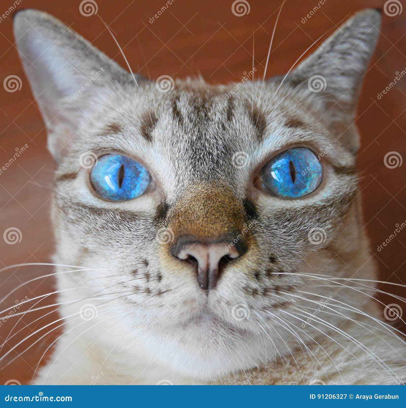 Ciérrese para arriba de gato del ojo azul