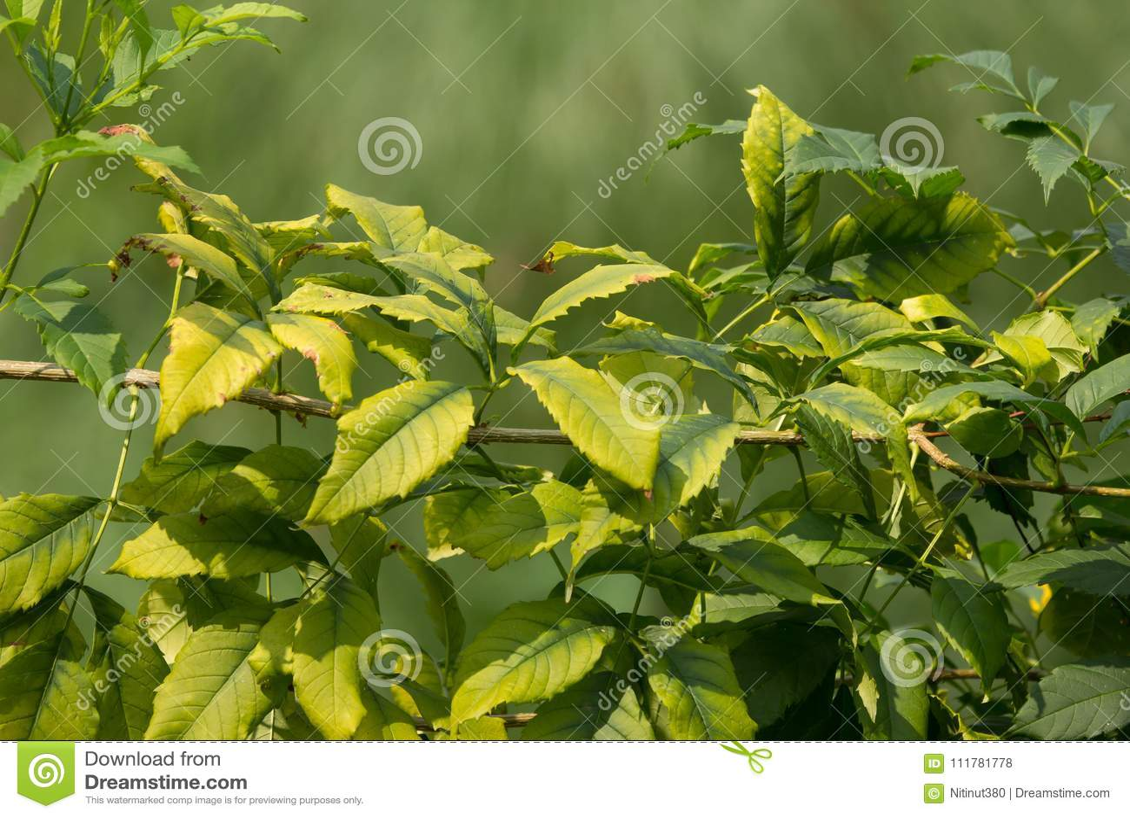 Ciérrese para arriba de la hoja verde de la flor amarilla de la anciano