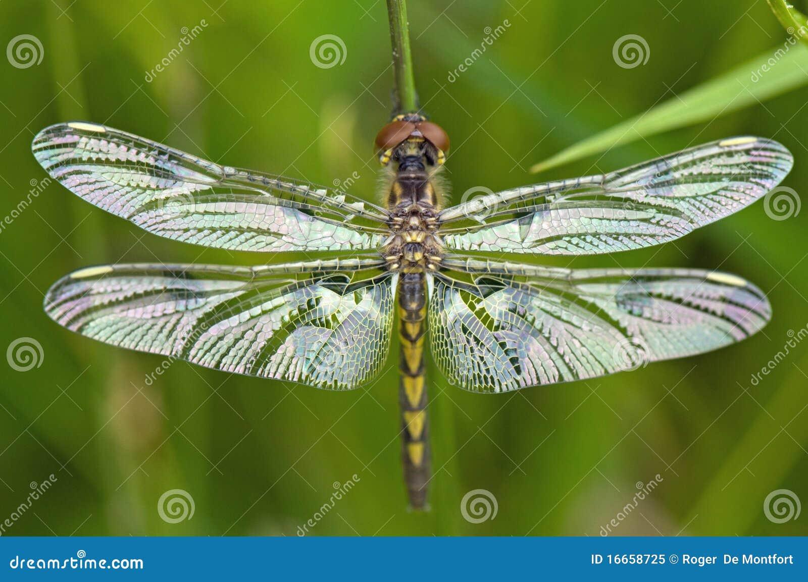 Ciérrese para arriba de la libélula, alas outstretched